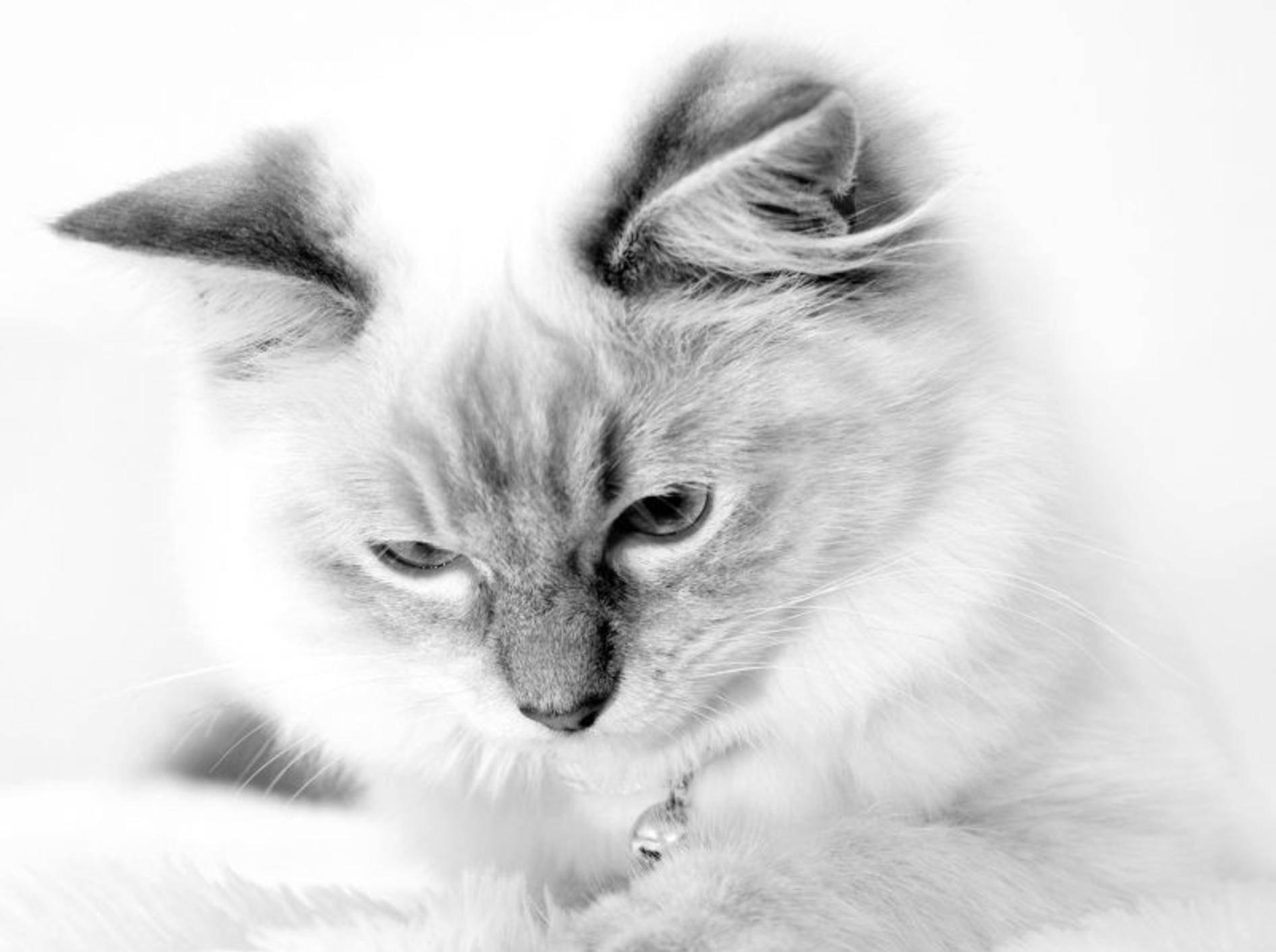 Schwarzweiß steht dieser Katze ausgesprochen gut — Bild: Shutterstock / cath5