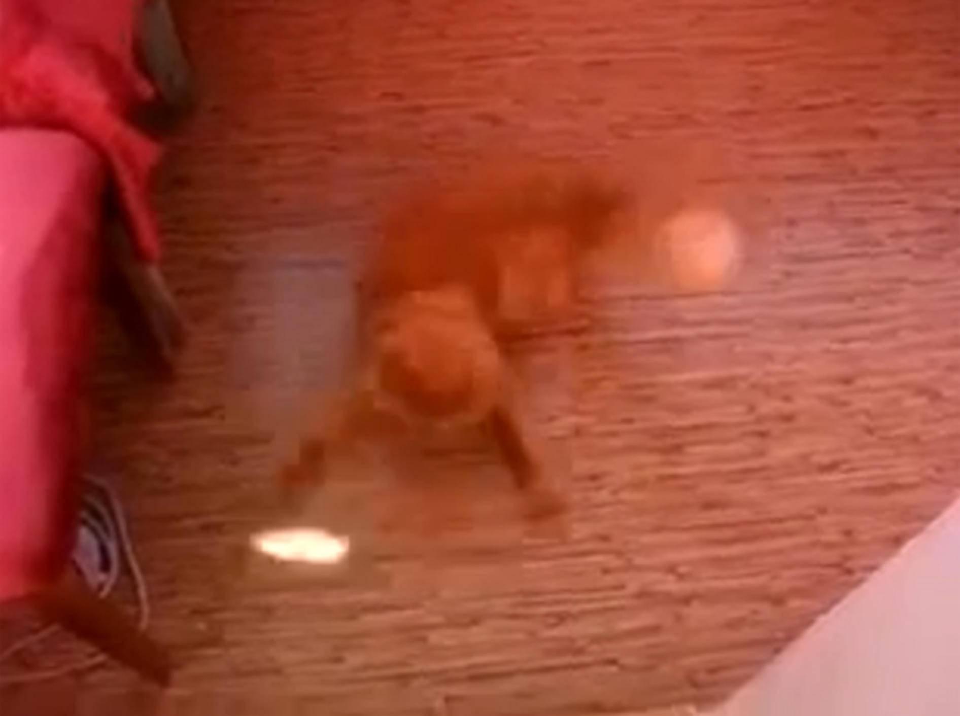 Stepptänzer: Rothaarige Katze legt ne flotte Sohle aufs Parkett