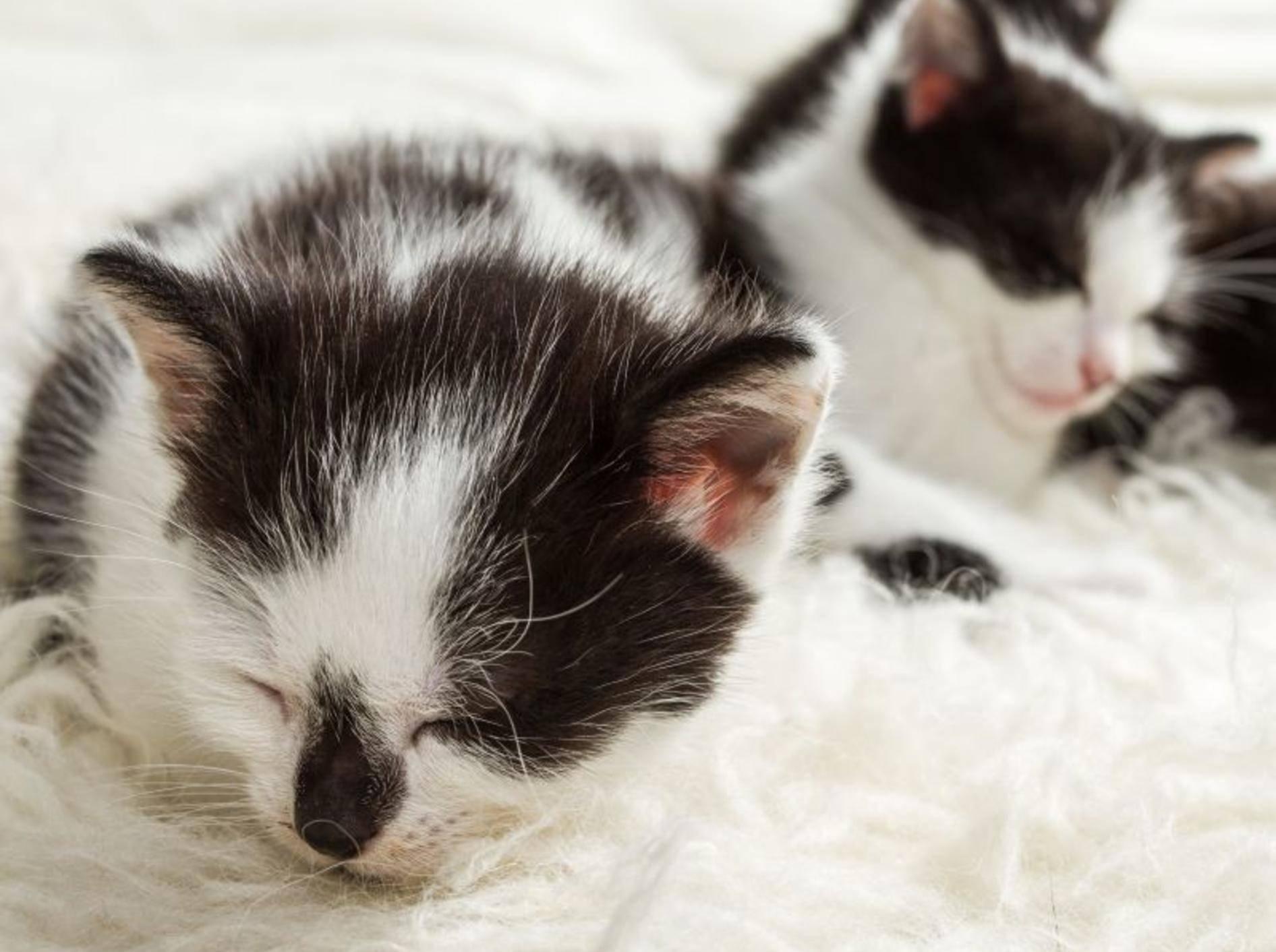 Diese Katzenbabys teilen sich nicht nur das Aussehen, sondern auch den Schlafplatz — Bild: Shutterstock / Shaiith