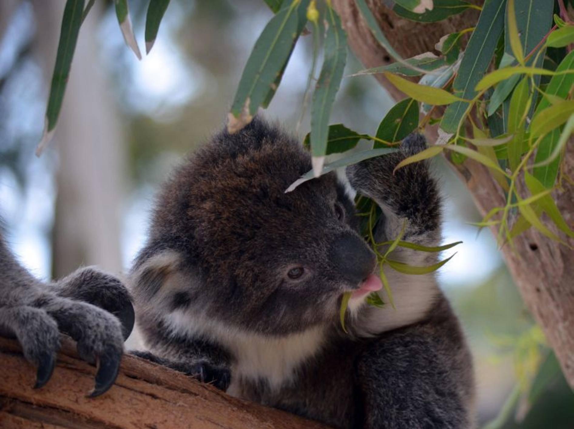 Man muss den Koala einfach mögen, weil er so süß beim Essen aussieht — Bild: Shutterstock / Susan Flashman