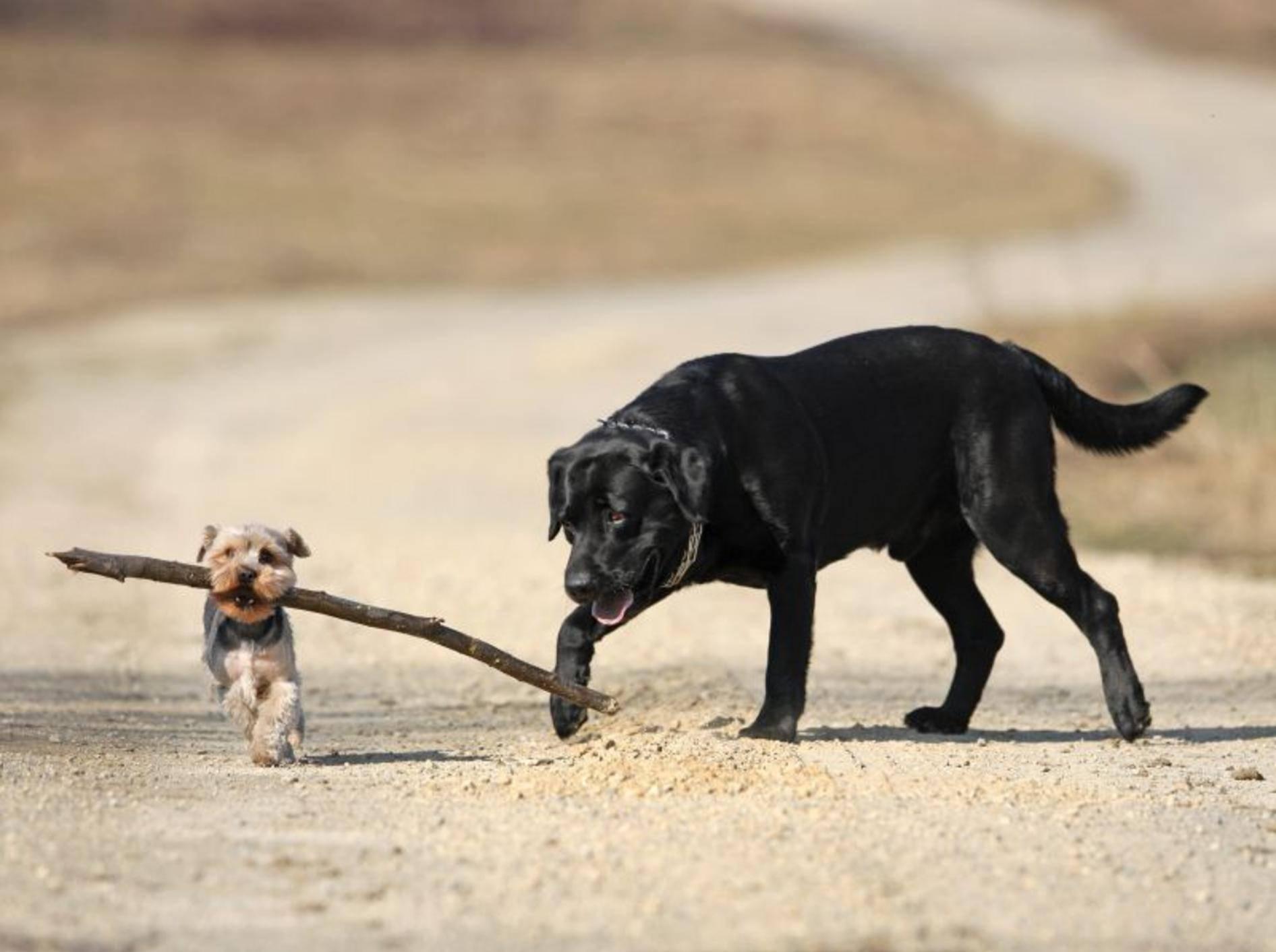 Yorkshire Terrier spielt mit Labrador Retriever — Bild: Shutterstock / Pawel Cebo