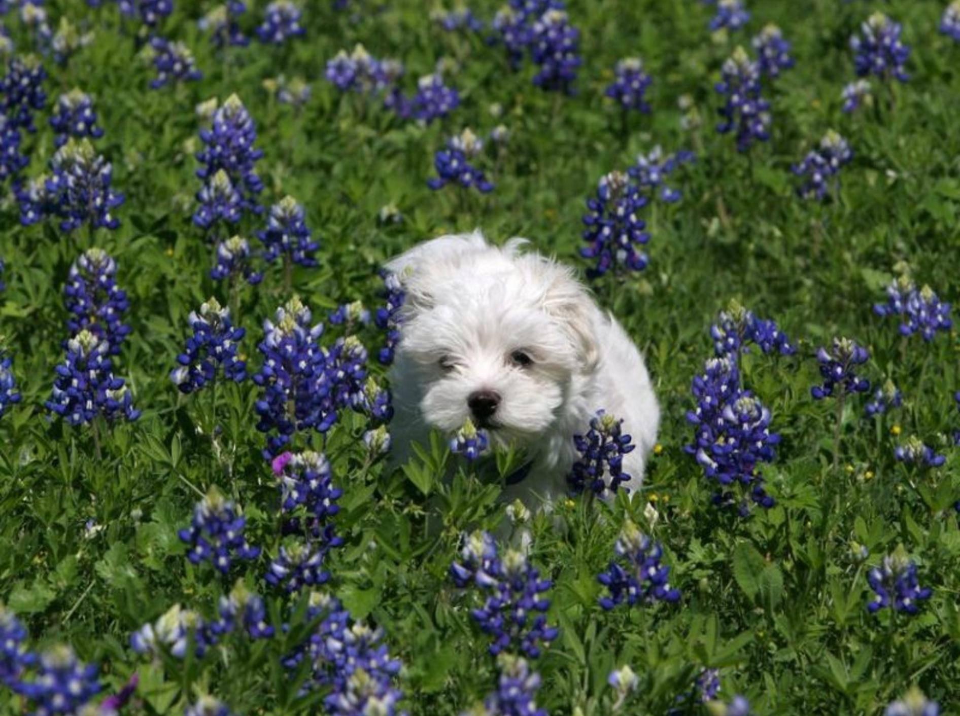 Malteser unterwegs: Der kleine Hund liebt Spaziergänge — Bild: Shutterstock / Melanie_Jensen