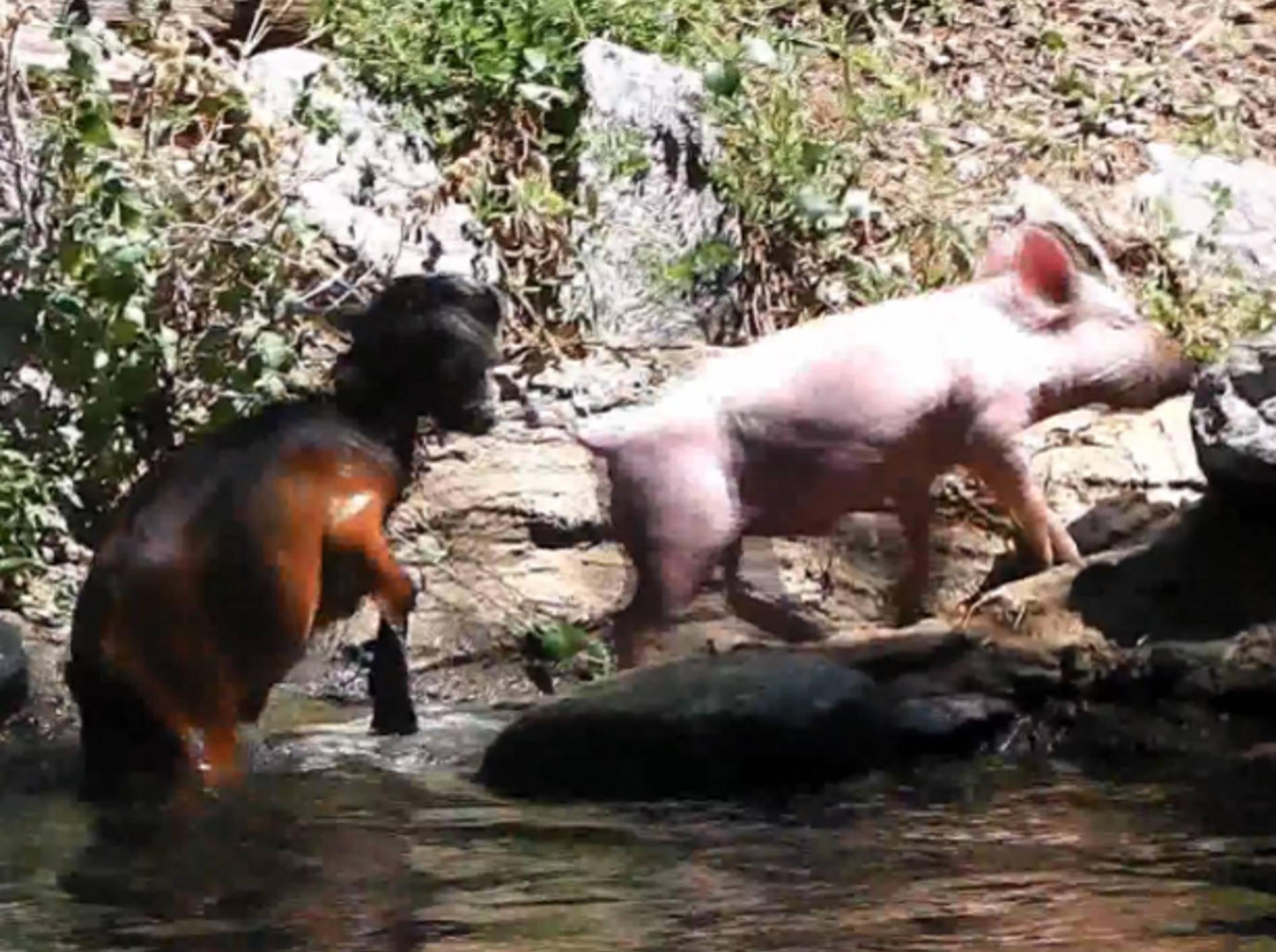 Schweinchen rettet Ziege? Das Video ist ein Werbe-Fake