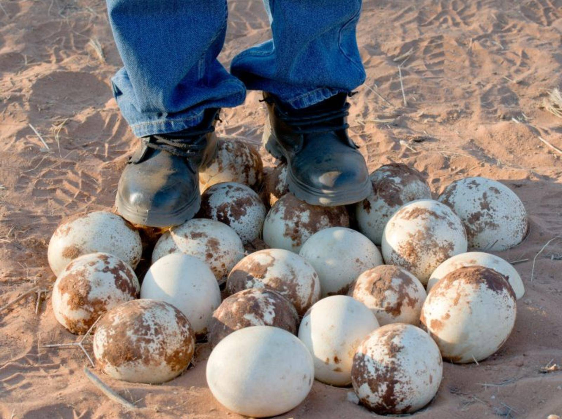 Diese Eier sind groß und haben eine fast unzerstörbare Schale. Zu welchem Tier gehören sie? — Bild: Shutterstock / iladm