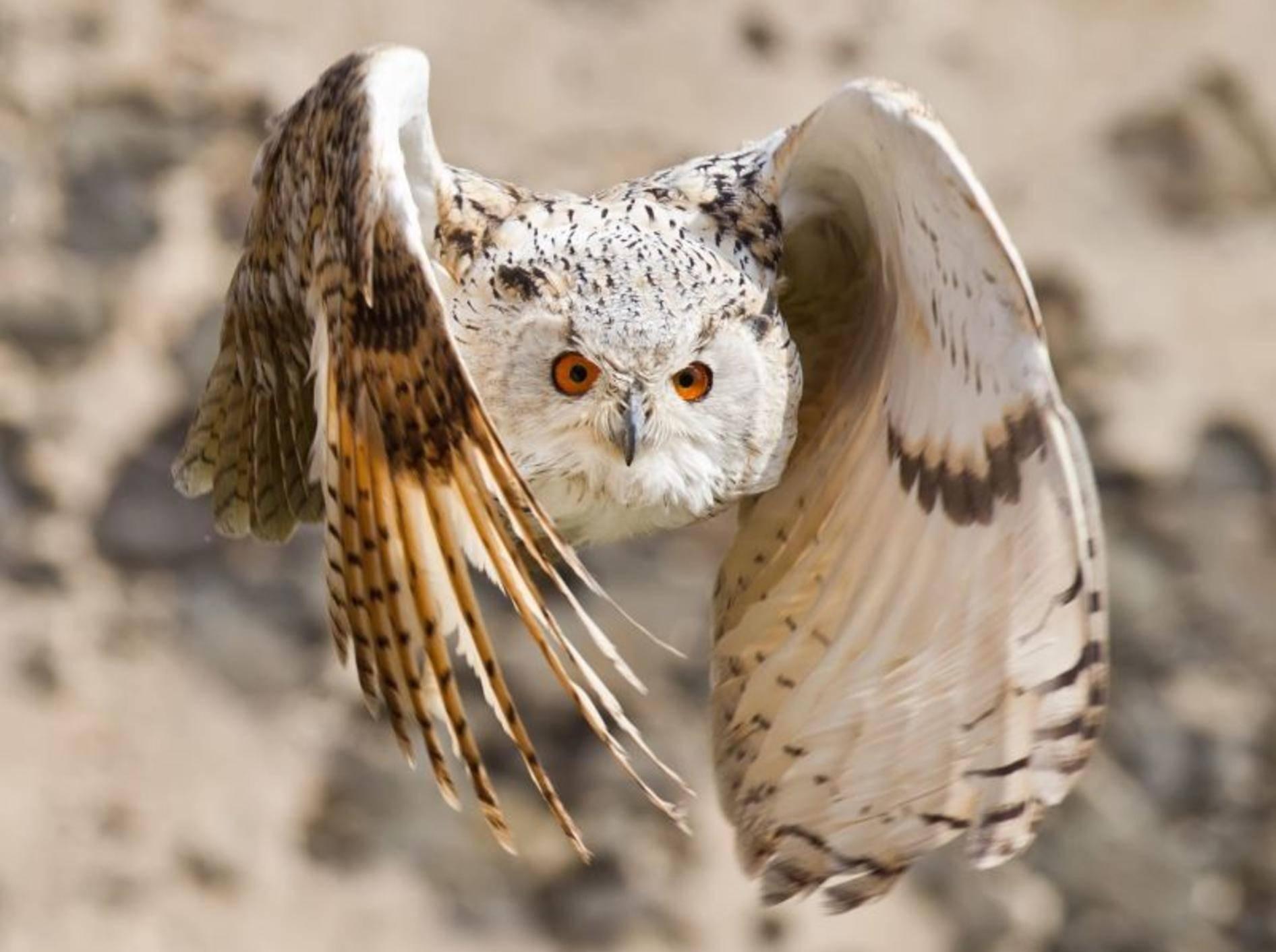 Eulen sind immer ein Foto wert, weil... sie im vollen Flug einfach fantastisch aussehen — Bild: Shutterstock / Peter Schwarz
