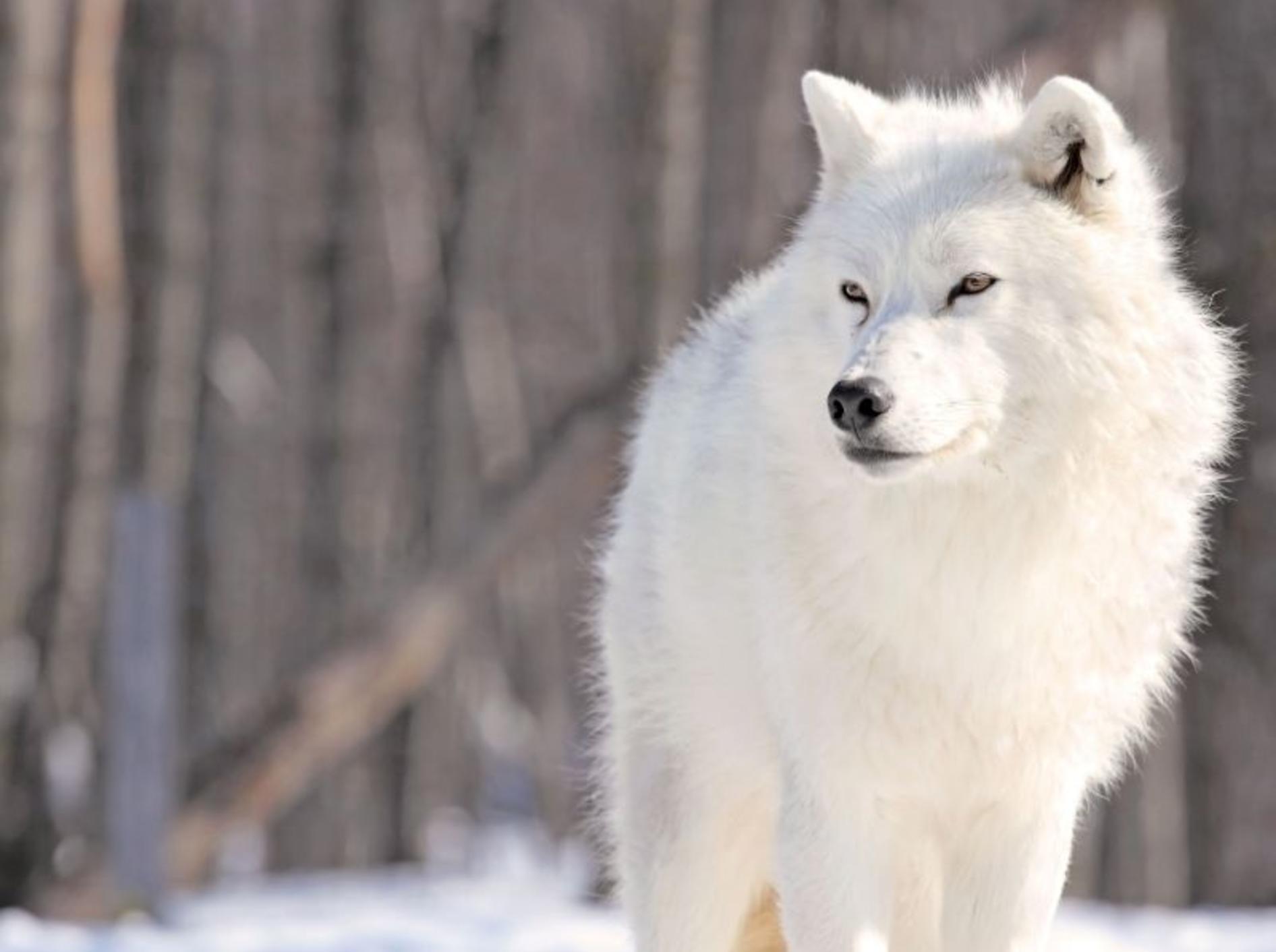 Der Wolf kehrt nach Deutschland zurück: Mit ihm auch die Angst? — Bild: Shutterstock / karl umbriaco