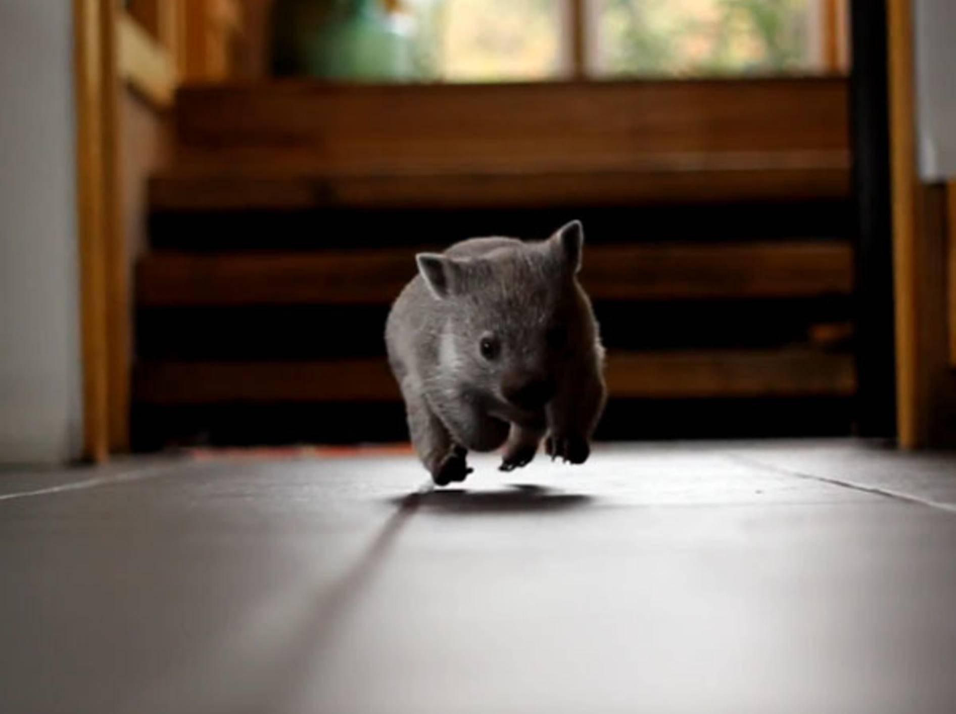 """Süßer Baby-Wombat """"Magnolia"""" kommt auf Touren und erobert unsere Herzen"""