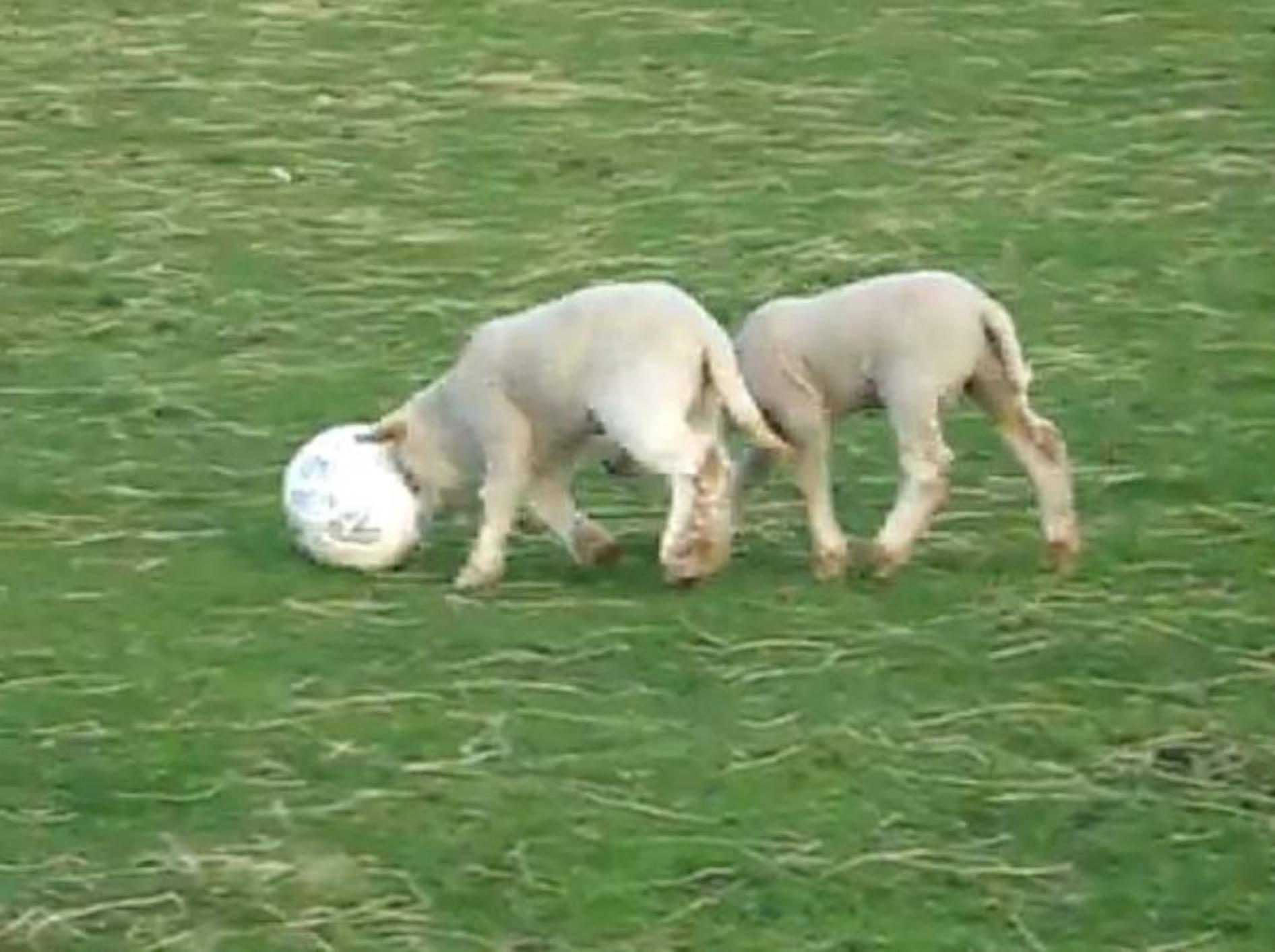 laemmer-spielen-fussball