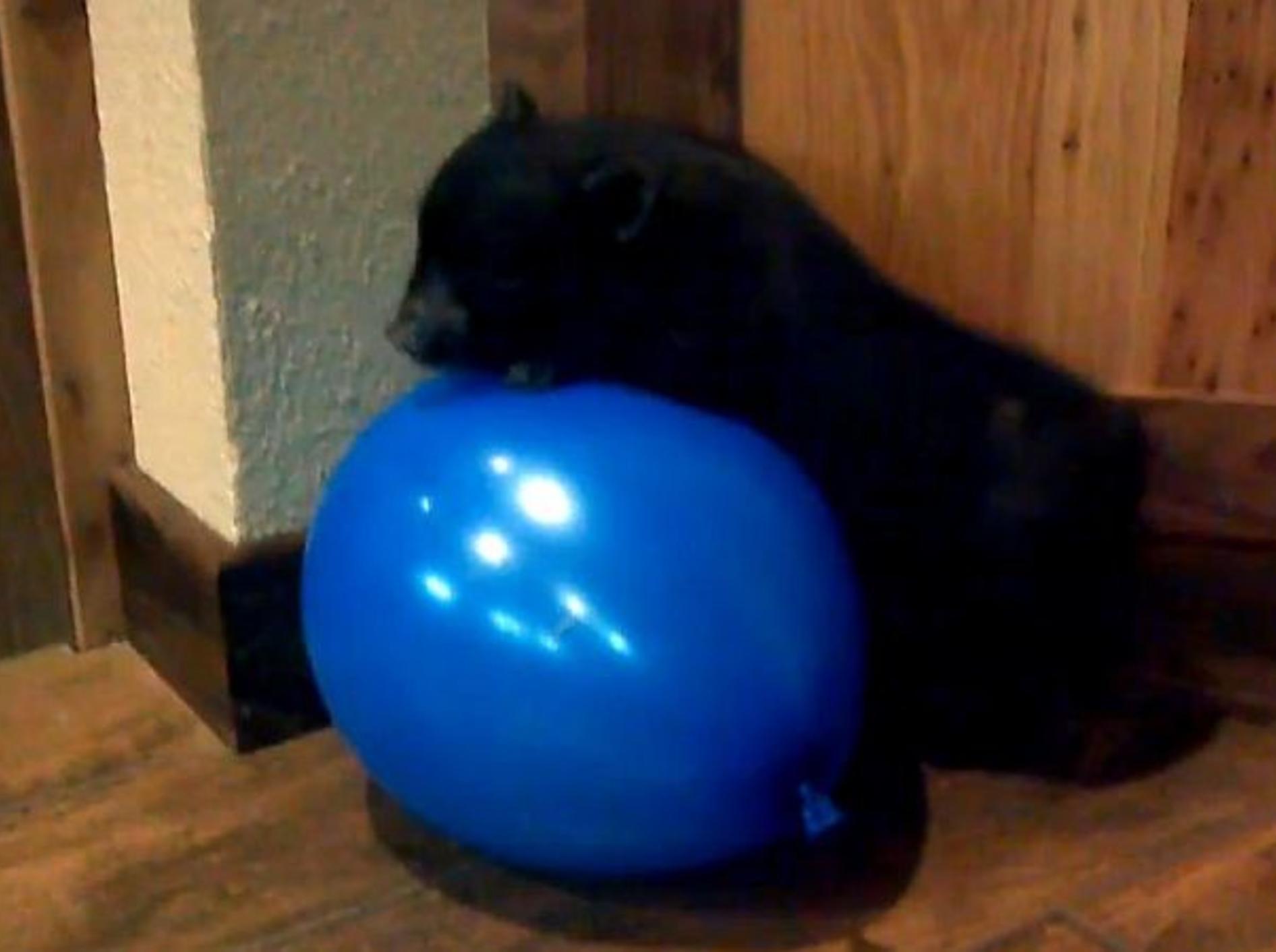 niedliches-schwarzes-schwein-spielt-mit-ballon