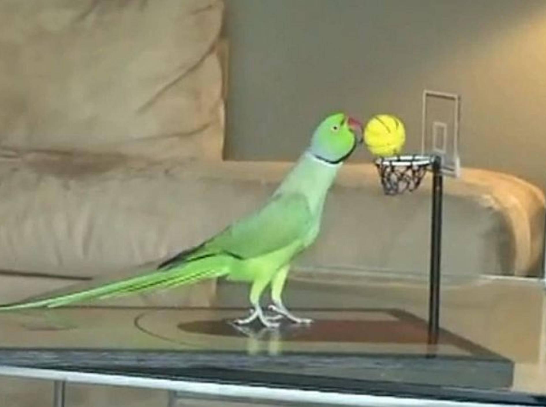 papagei-macht-spektakulaere-tricks