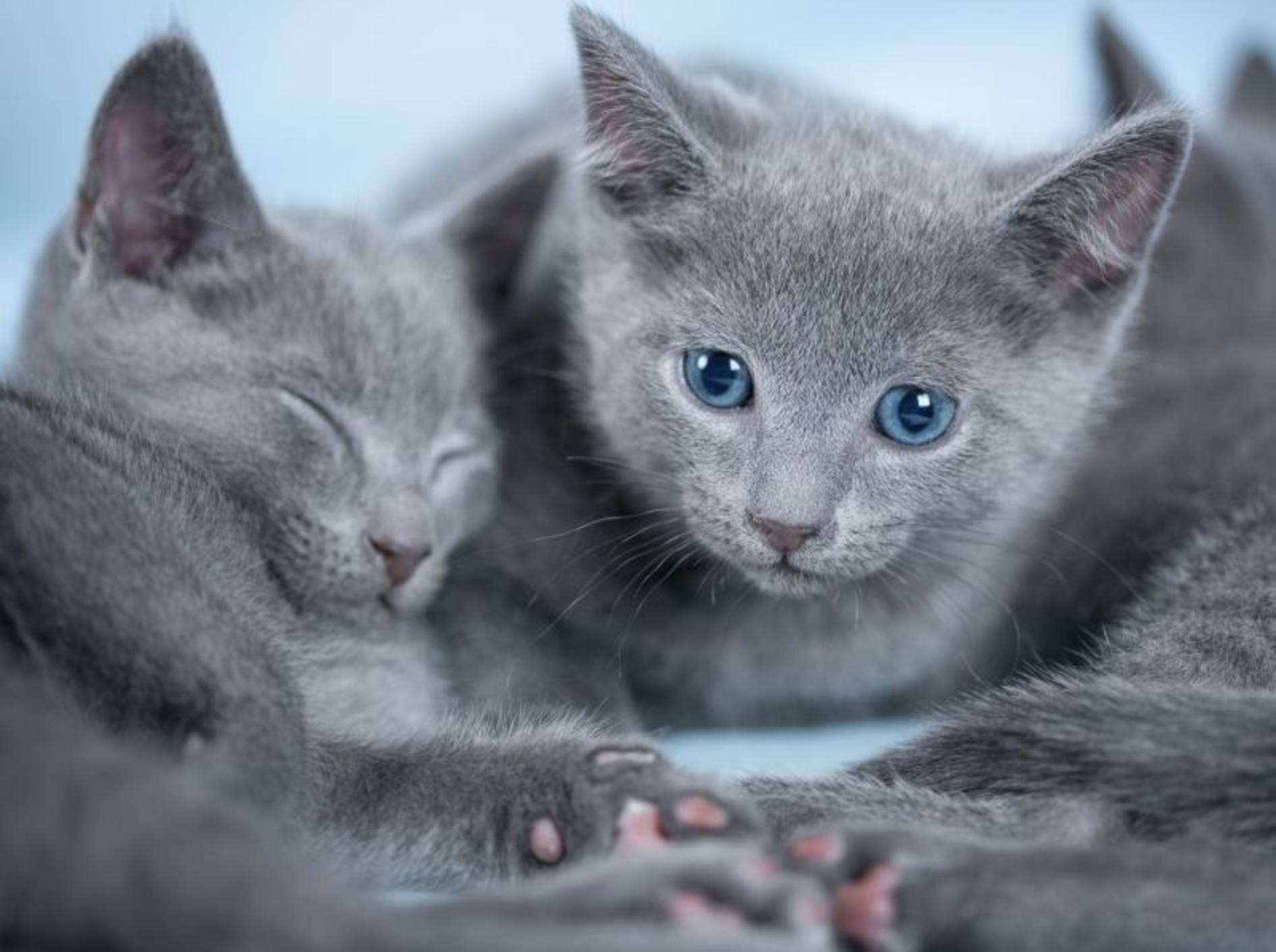 Russisch Blau Babykatzen gelten im Gegensatz zu erwachsenen Tieren als äußerst lebhaft und abenteuerlustig — Bild: Shutterstock / Petr Jilek