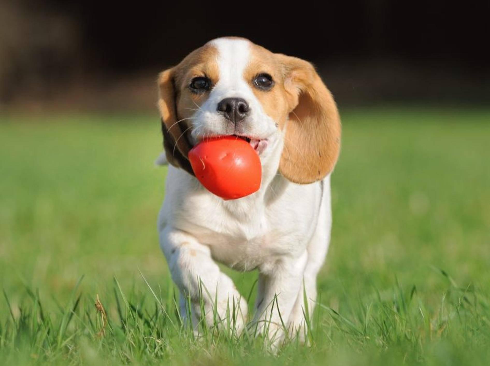 Diesem kleinen Beagle Welpen steht der Spaß am Apportieren ins Gesicht geschrieben — Bild: Shutterstock / AnetaPics