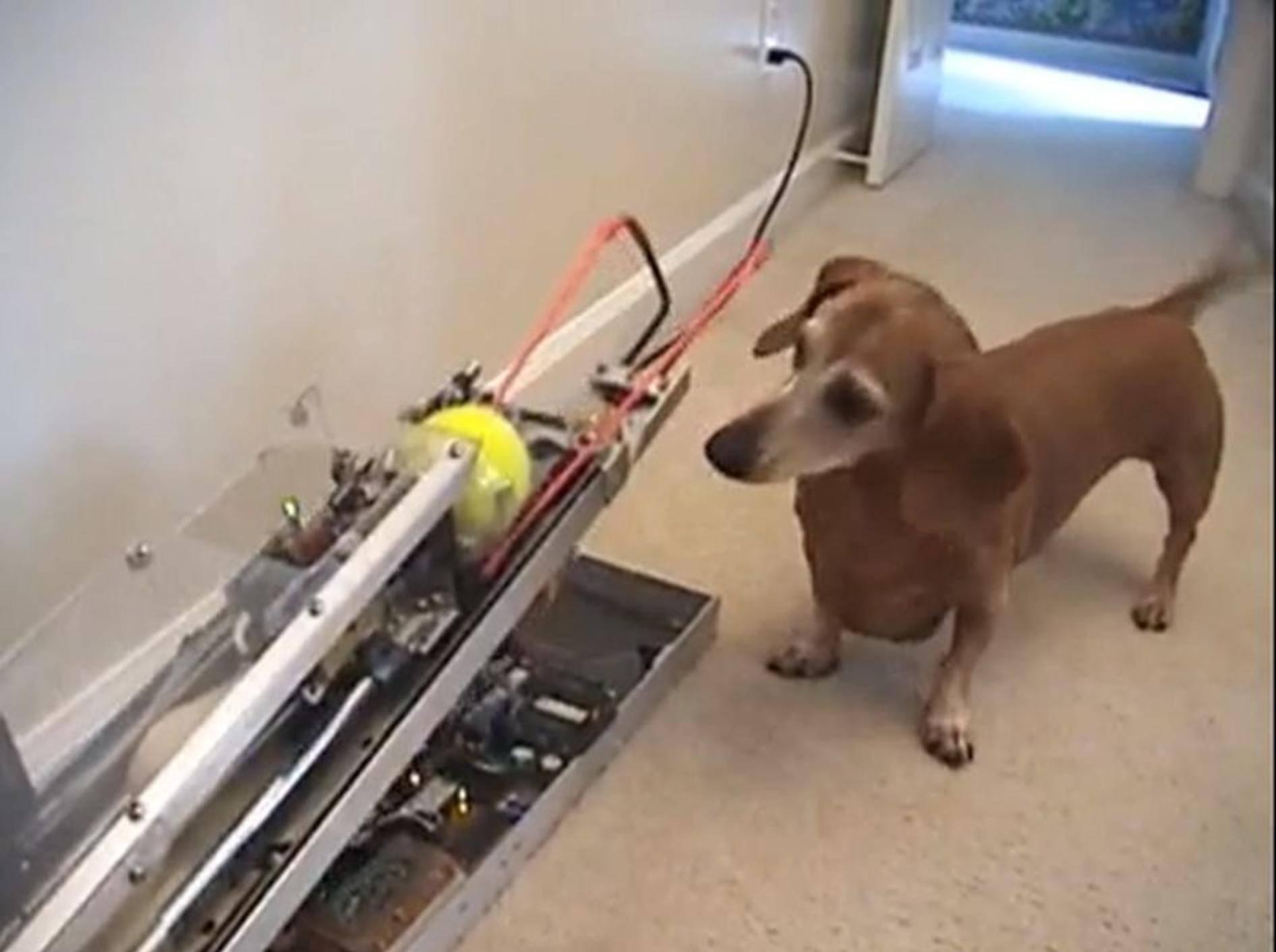 Dackel ist stolzer Besitzer einer Ballwurfmaschine — Bild: Youtube / lamgngo