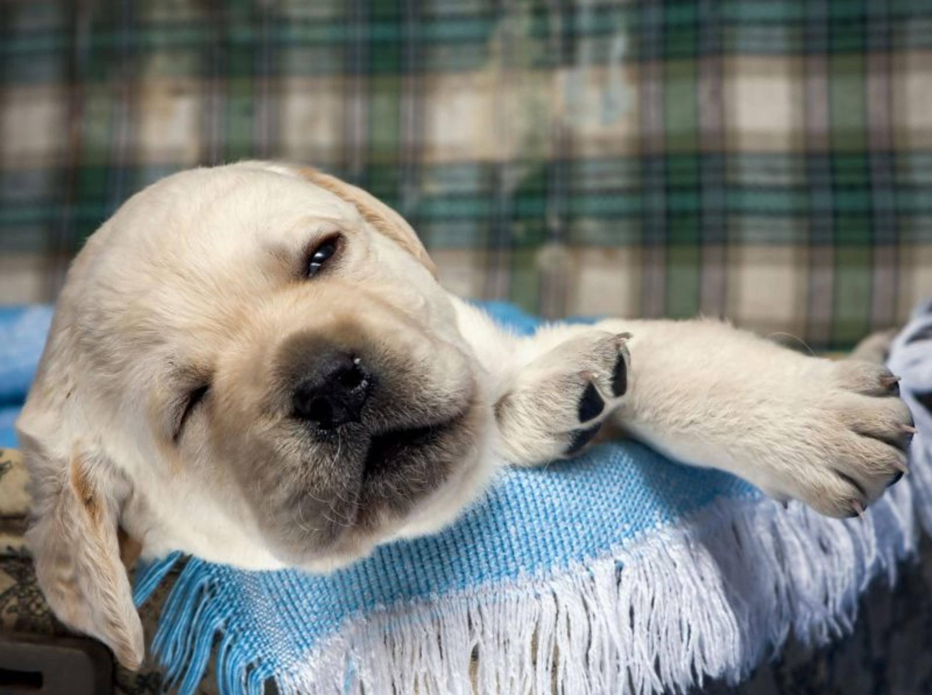 Gut geschlafen? Ein hundemüder — Bild: Shutterstock / Labrador Asichka