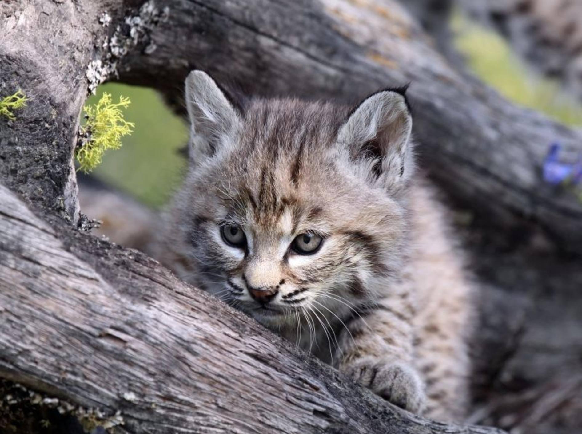 Kanadischer Luchs: Sieht als Baby fast aus wie eine Hauskatze — Bild: Shutterstock / mlorenz
