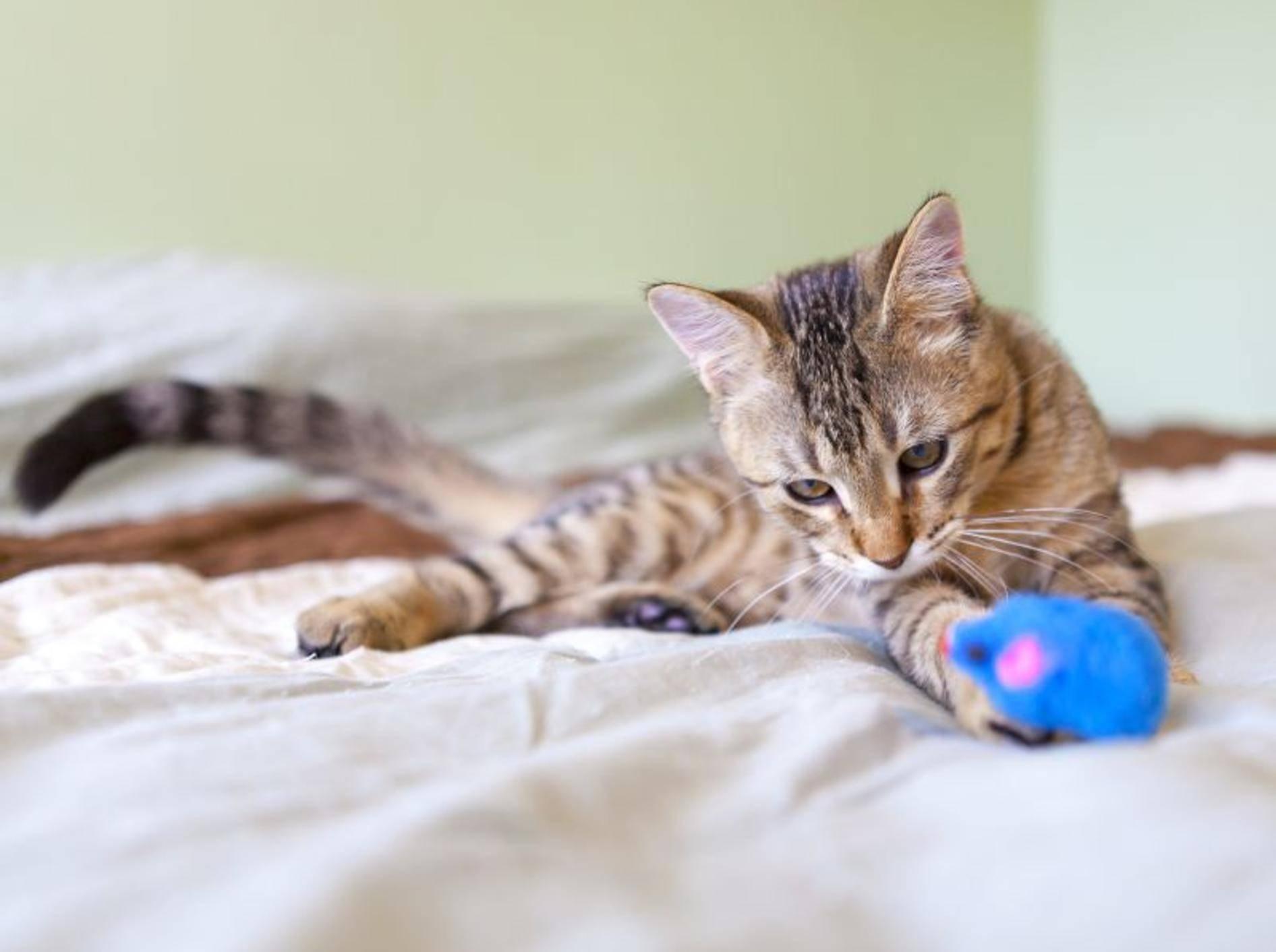 Das macht Spaß: Katze mit Catnip-Maus — Bild: Shutterstock / MaxyM