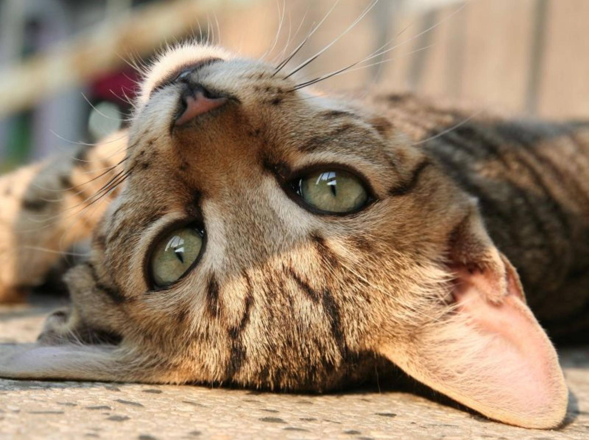 Katzen sind bekannt dafür, gerne stundenlang in der Sonne zu liegen — Bild: Shutterstock / Koriolis