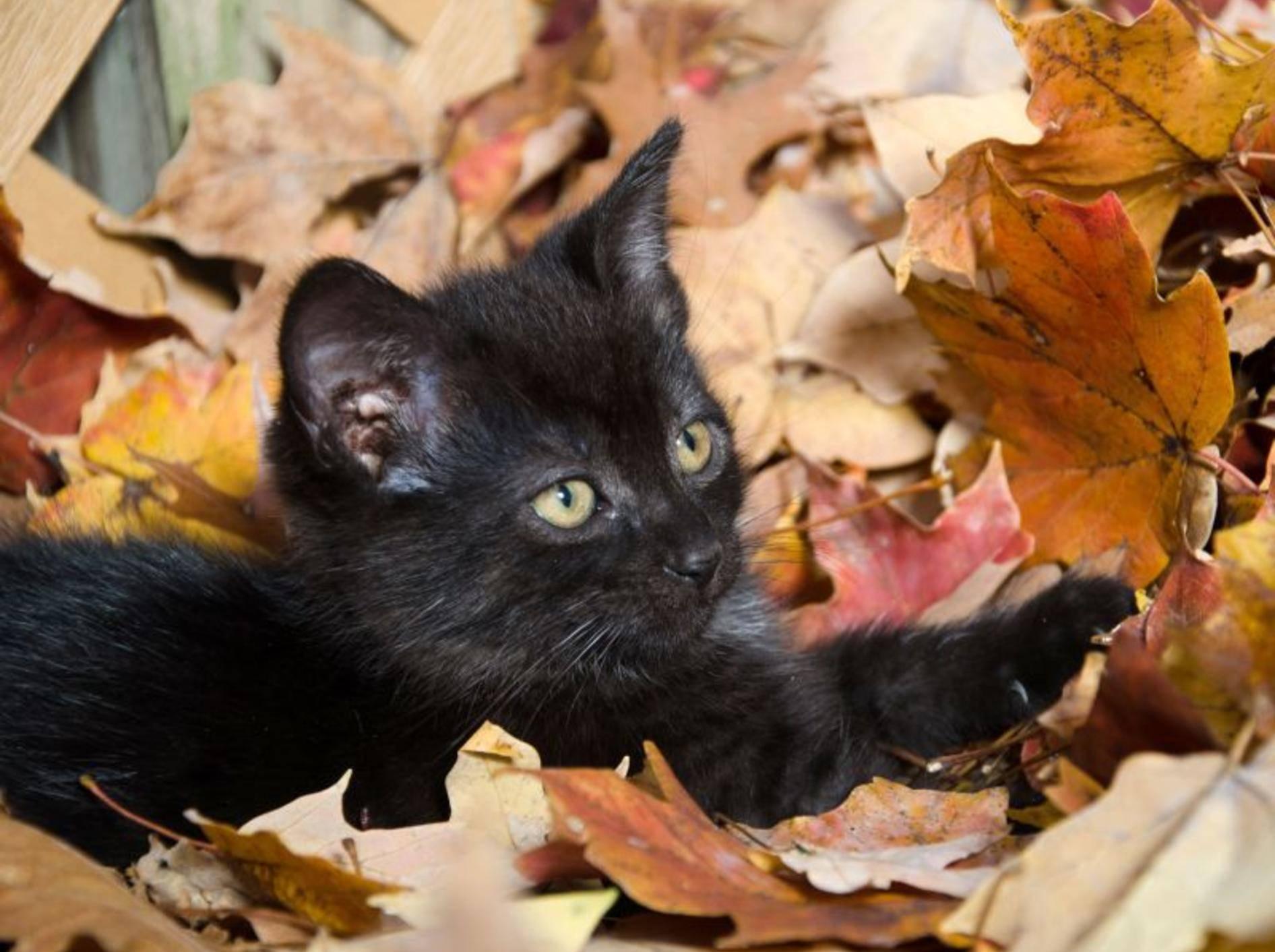 Und im Laub herumtollen macht Katzenbabys einen Riesenspaß, wie man sieht — Bild: Shutterstock / Tony Campbell