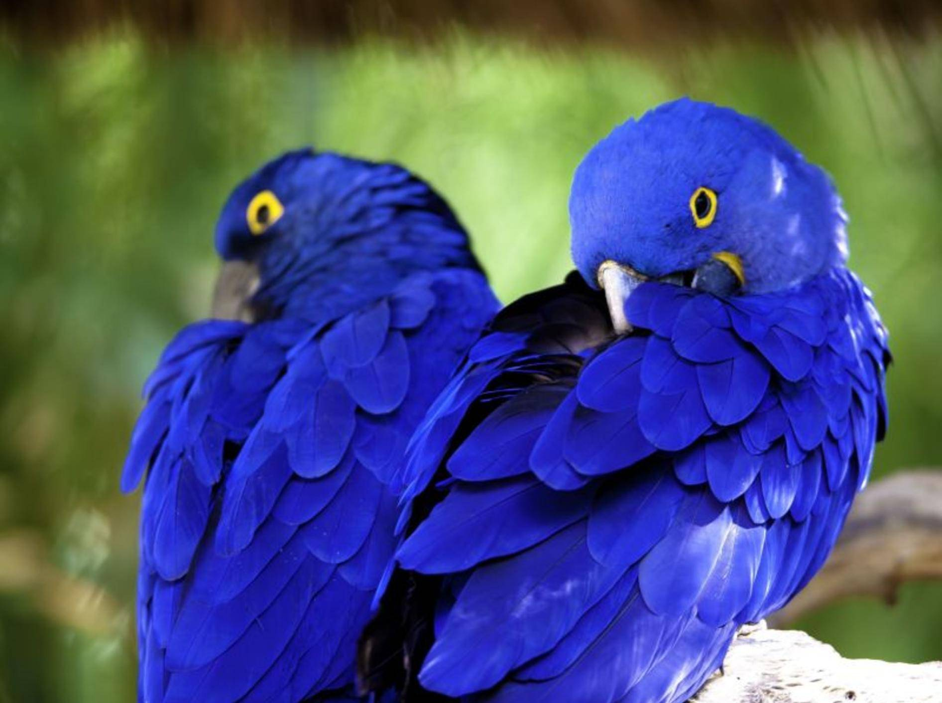 Blau und wunderschön: Ein Ara-Pärchen — Bild: Shutterstock / bcampbell65