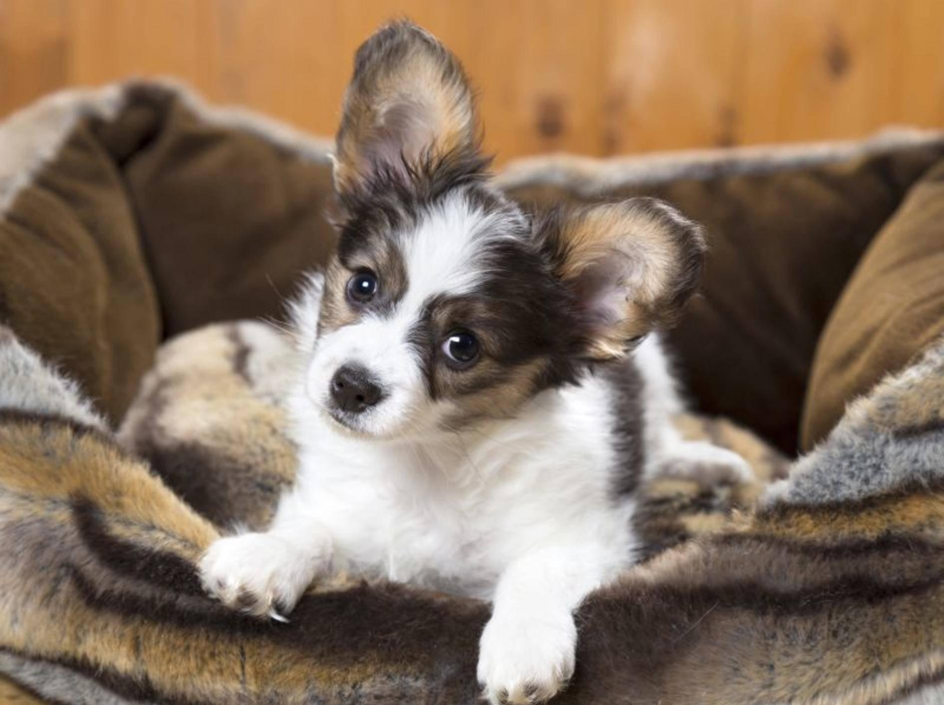Dieser Papillon hat wohl schon ein passendes Hundebett gefunden — Bild: Shutterstock / Sergey Lavrentev