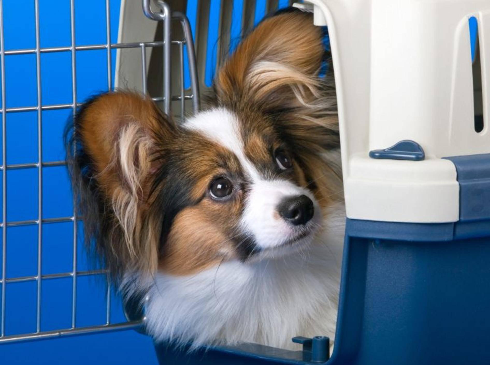 Papillon beim Training mit der Hundebox — Bild: Shutterstock / Sergey Lavrentev
