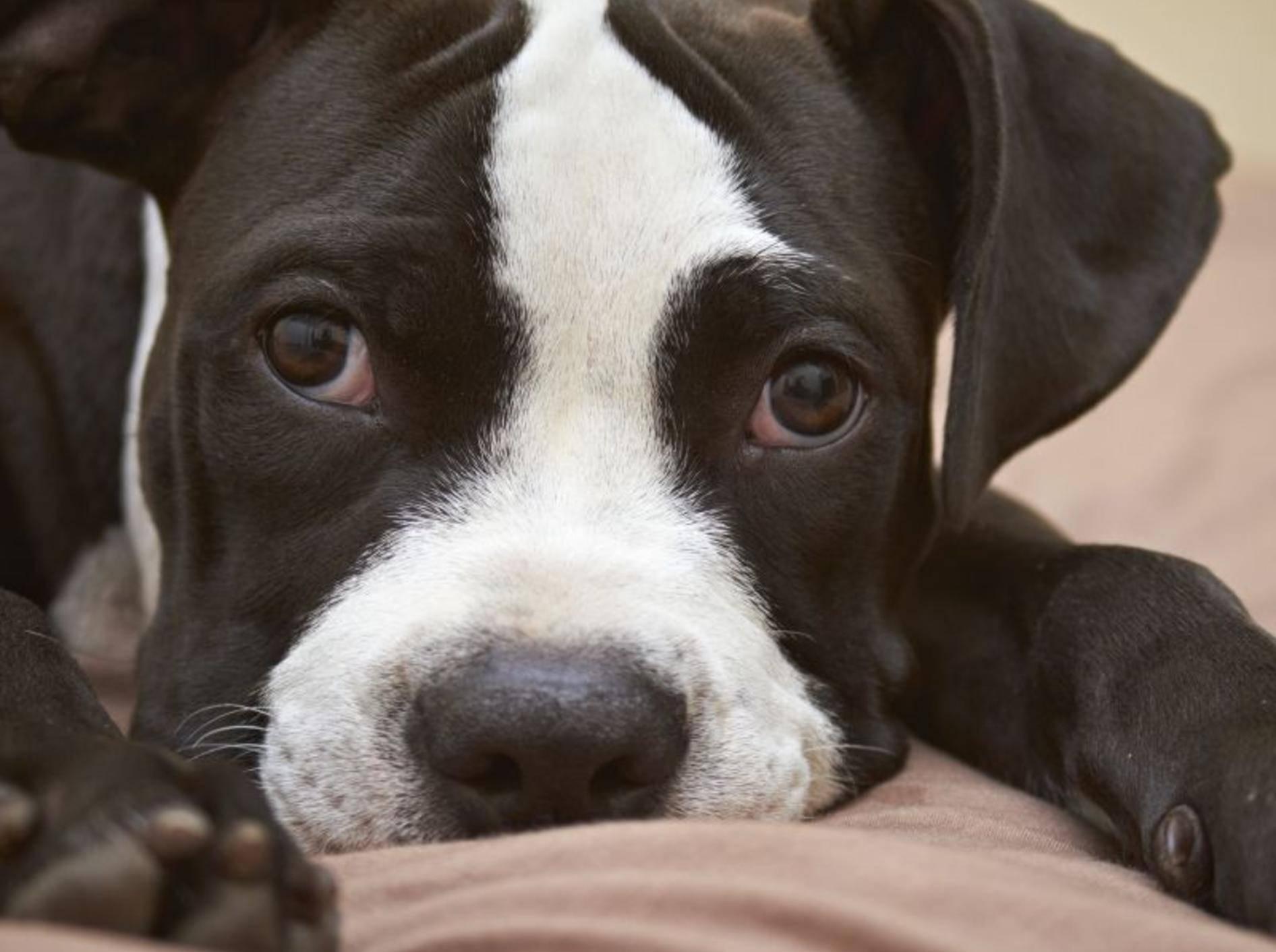 1. Pitbull Terrier — Bild: Shutterstock / dogboxstudio
