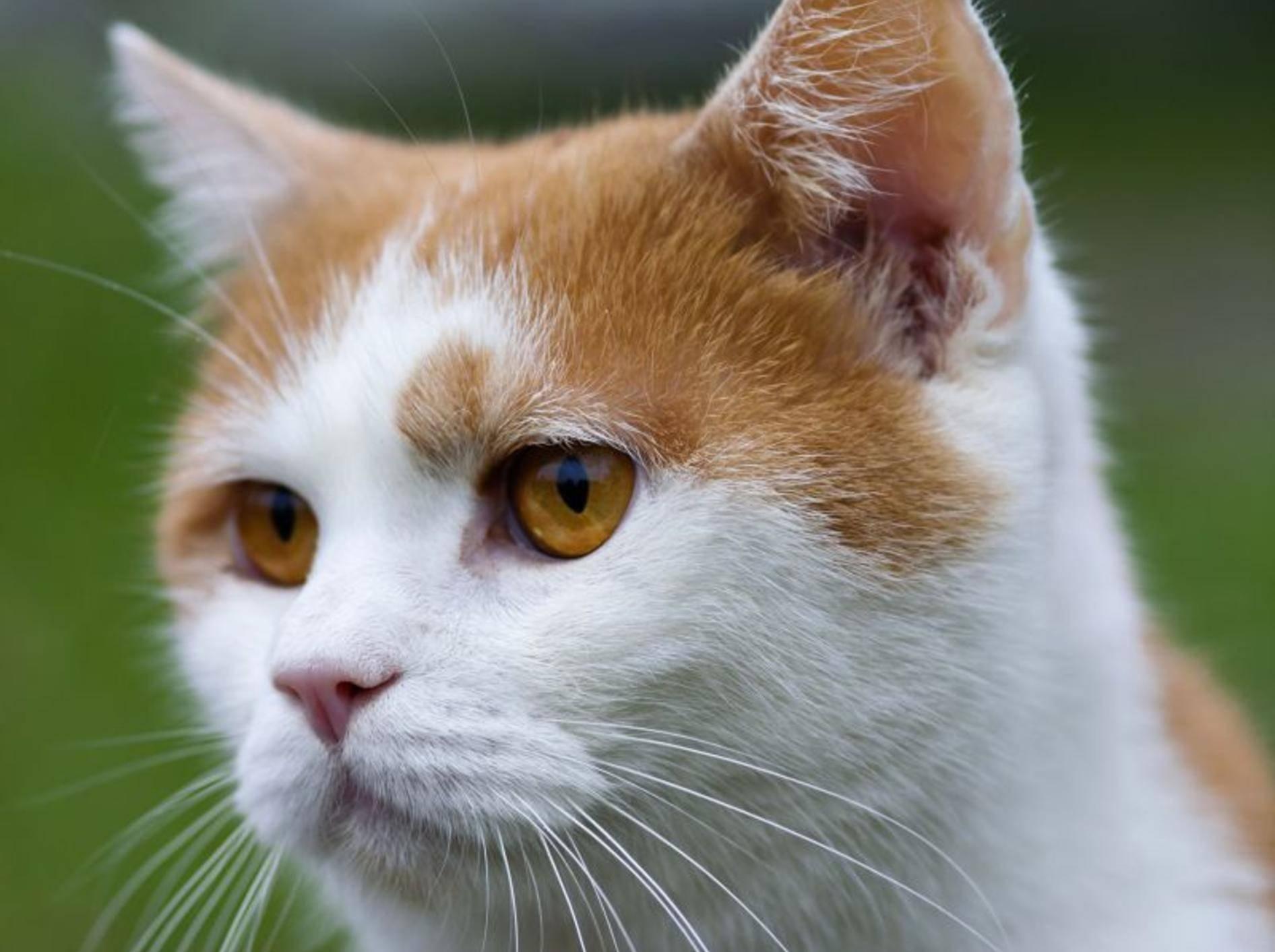 Diese schöne rote Katze macht den Anfang in unserer Bildergalerie — Bild: Shutterstock / siloto