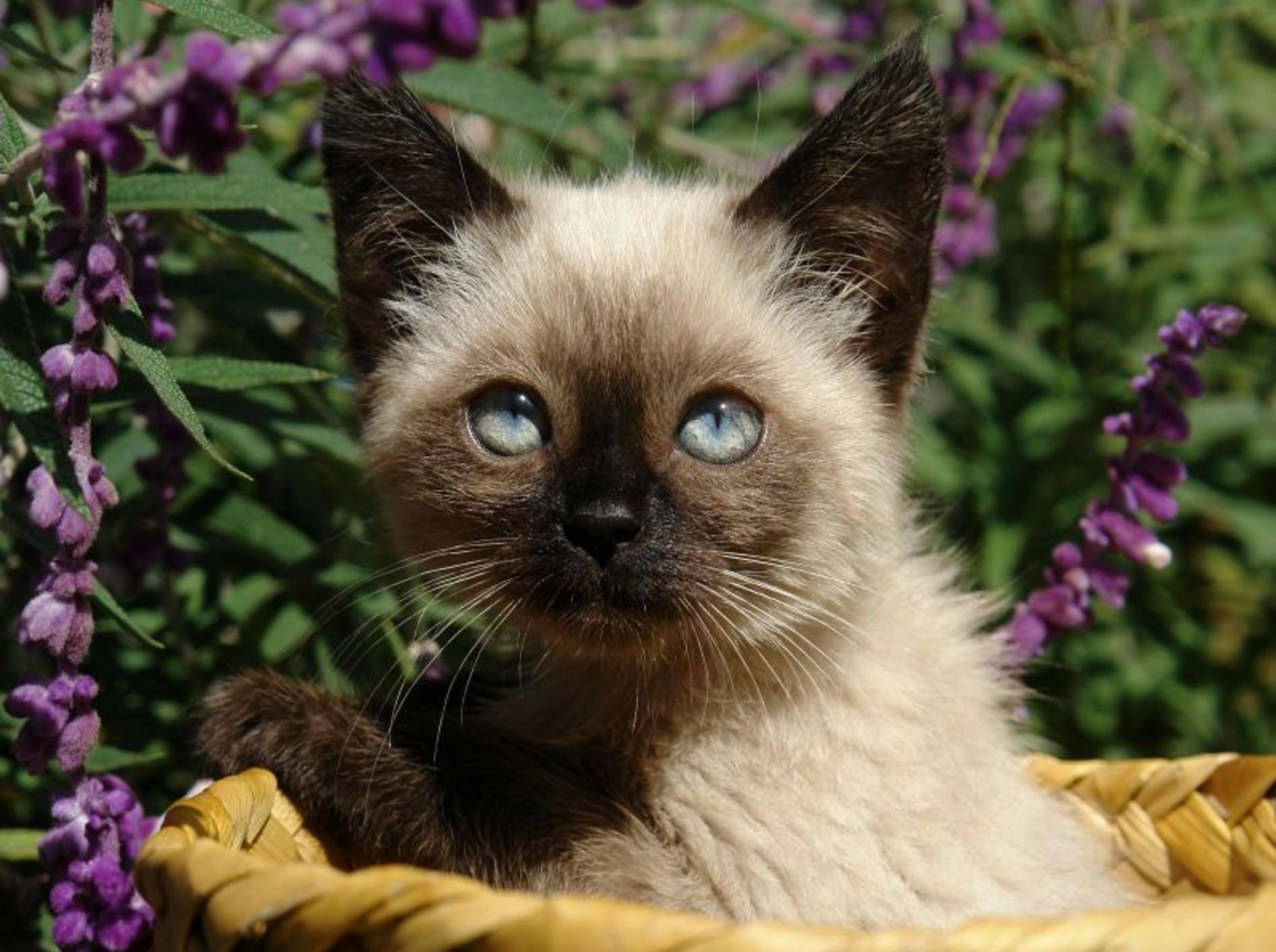 Hand auf Herz: Wer würde diese junge Siamkatze nicht mit nach Hause nehmen wollen? — Bild: Shutterstock / Mikhail Shiyanov