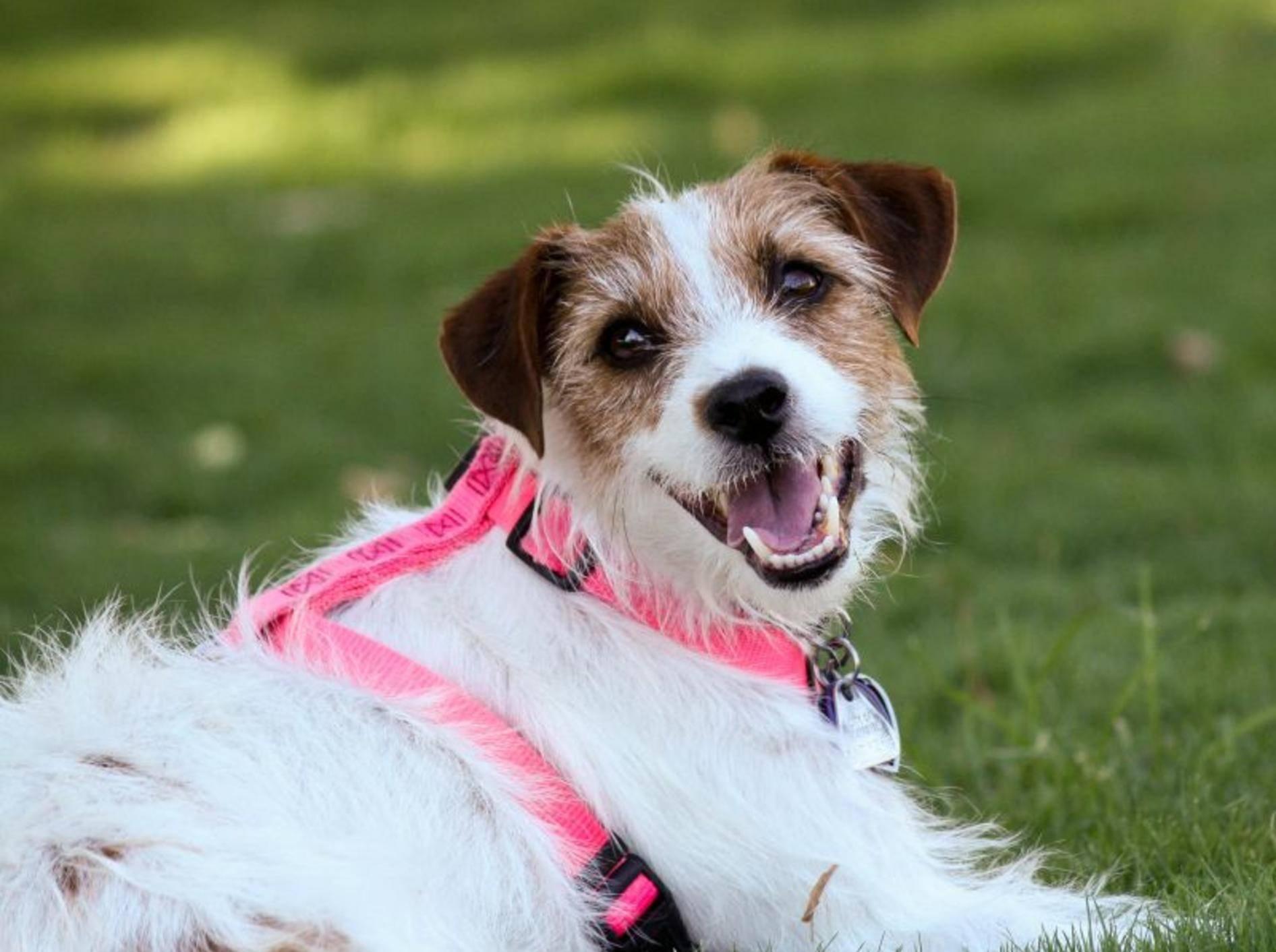 Dieser Terrier ist schon mit einem passenden Hundegeschirr ausgestattet — Bild: Shutterstock / Terry Watt