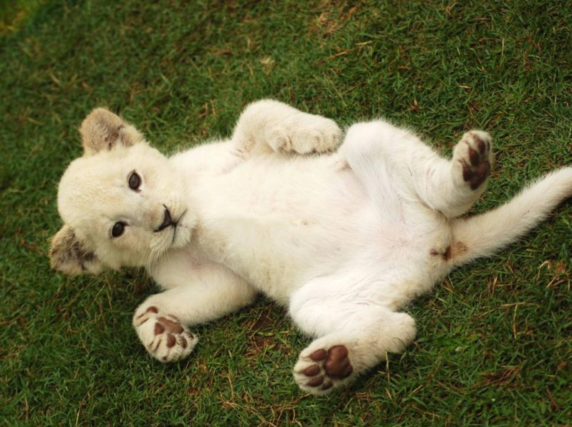 """""""Hallo Fans!"""", ein weißes Löwenbaby genießt sein Raubkatzenleben — Bild: Shutterstock / Anke van Wyk"""