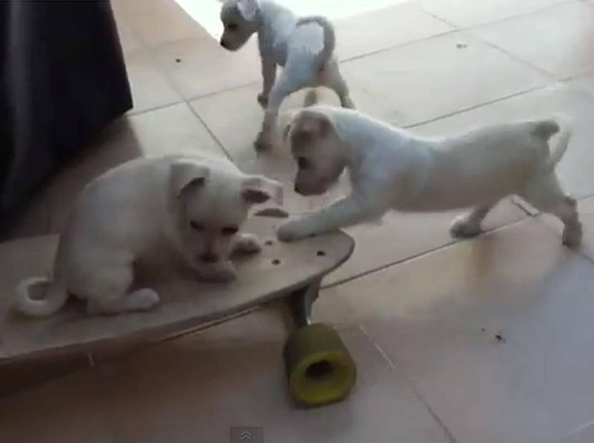 Tierisch süß: Welpen üben sich als Skateboard-Profis — Bild: Youtube / amonroy985