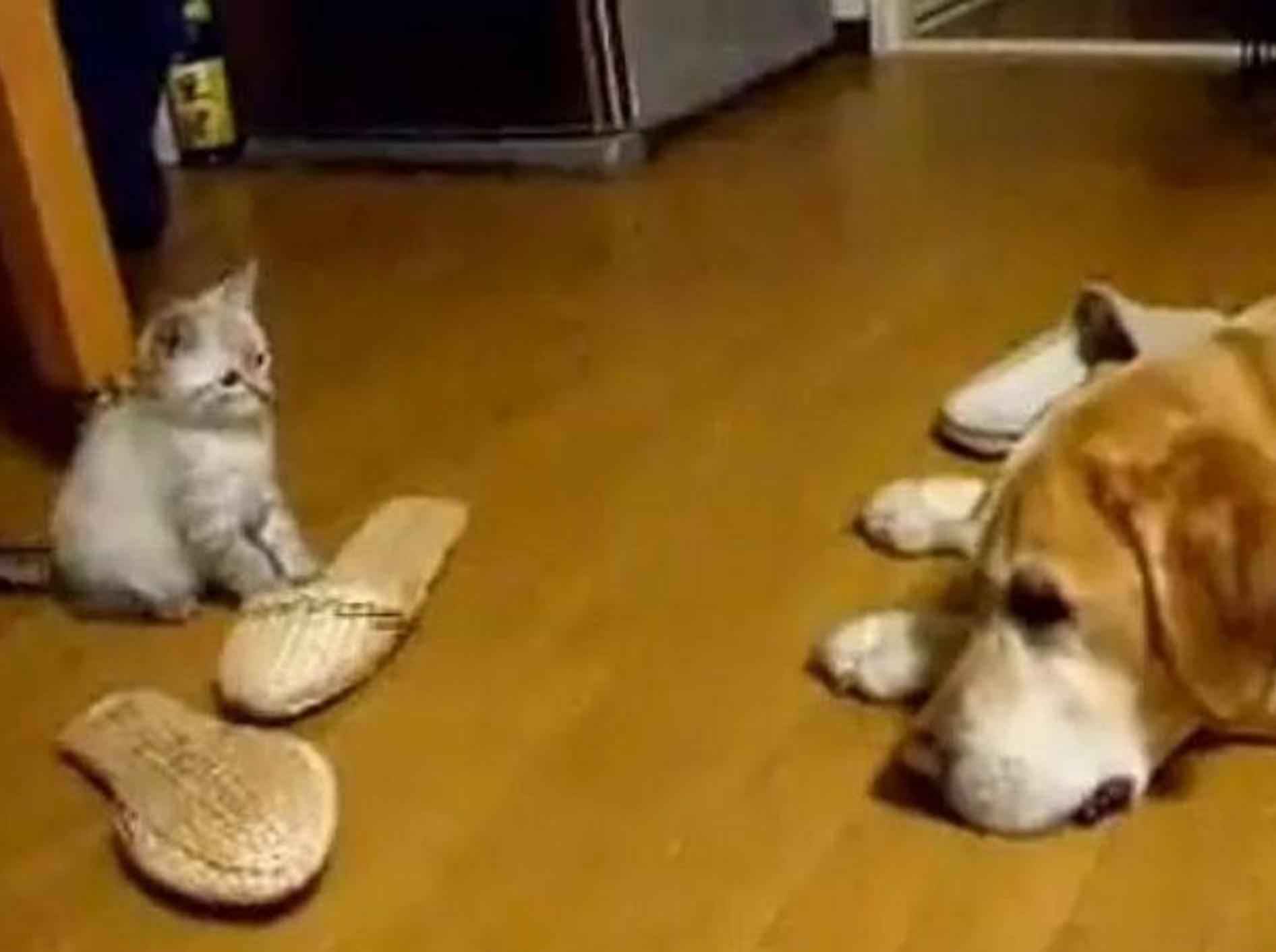 suesse-katze-attackiert-hund