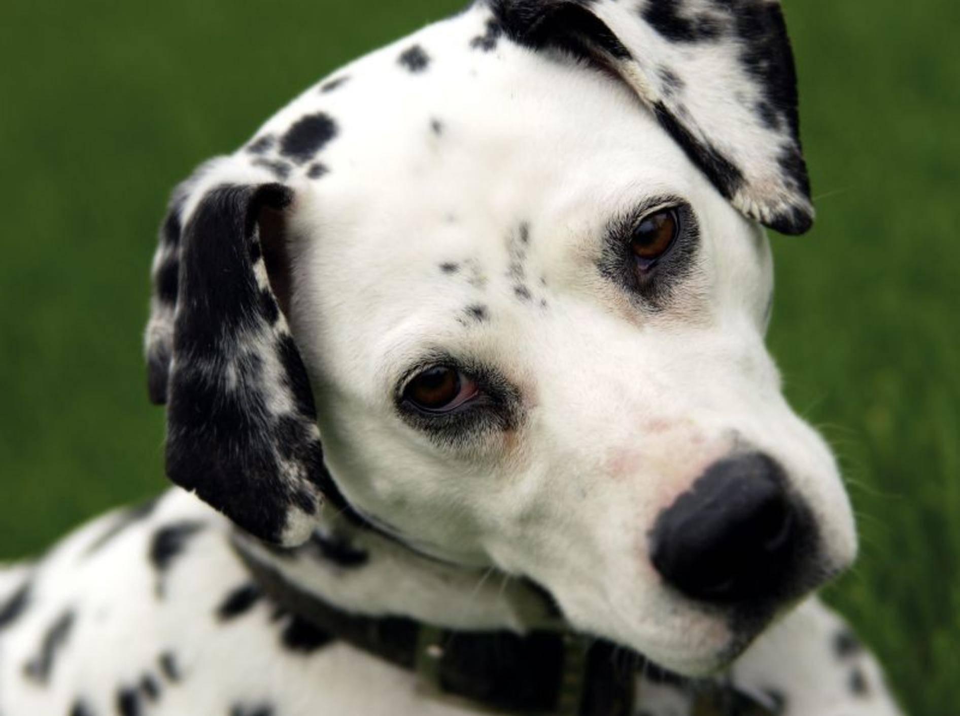 Treue Hundeaugen: In den Dalmatiner muss man sich einfach verlieben! — Bild: Shutterstock / GWImages