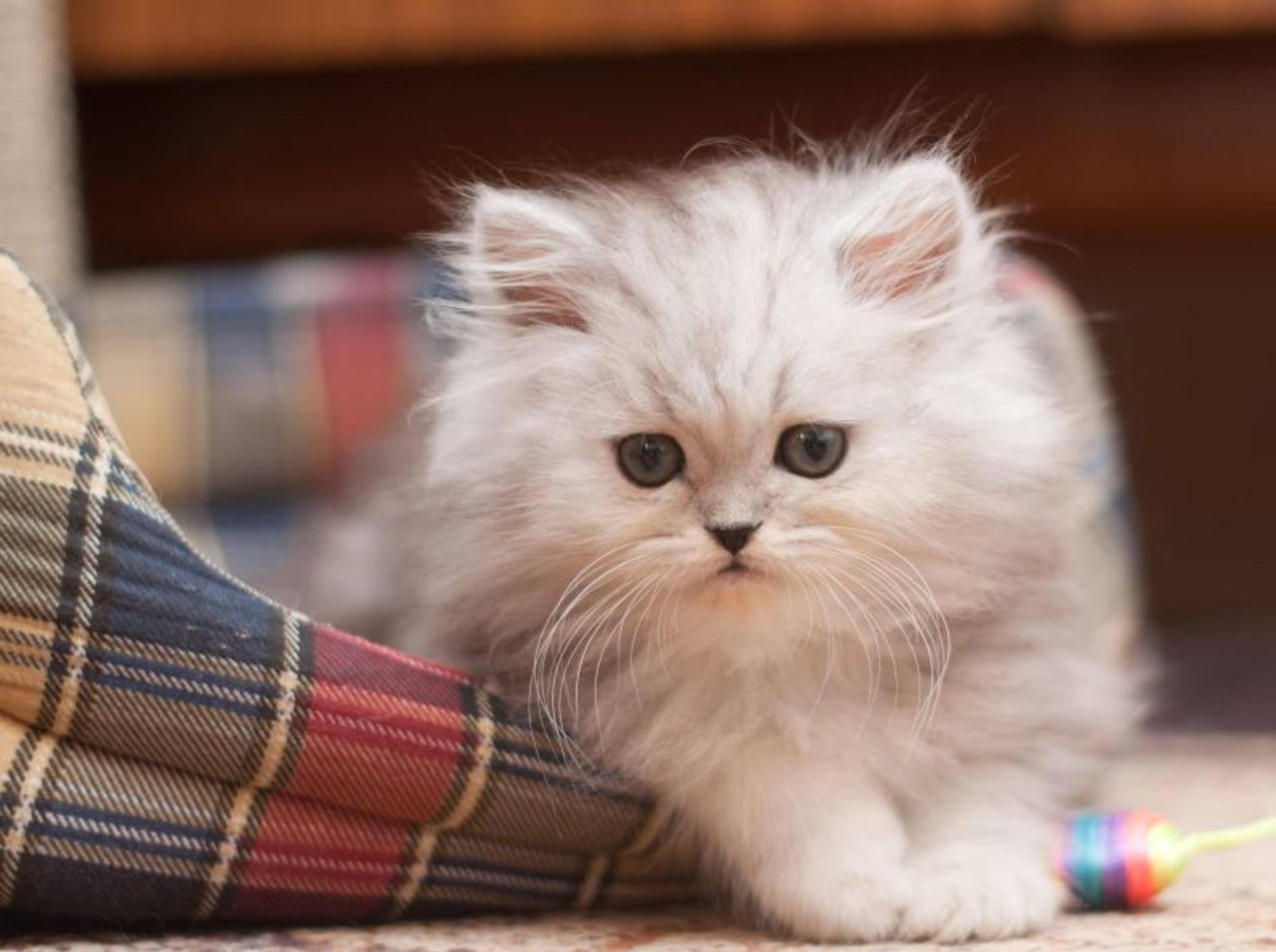 Ganz schön süß, dieser flauschige Miniperser im Katzenkörbchen — Bild: Shutterstock / Trybex