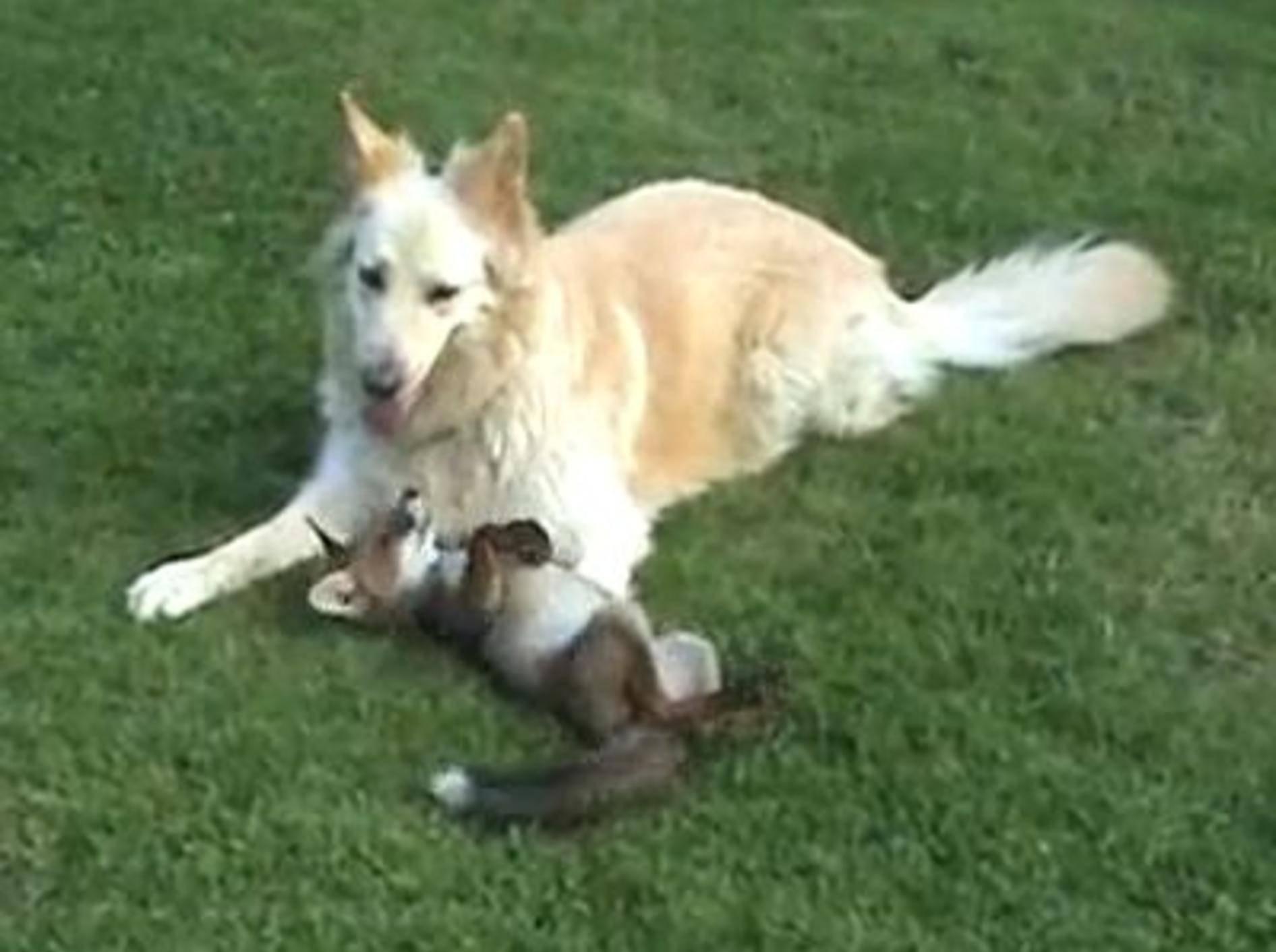 Hunde adoptieren Fuchs: Ein Bild für die Götter — Bild: Youtube / Debbie Johnson