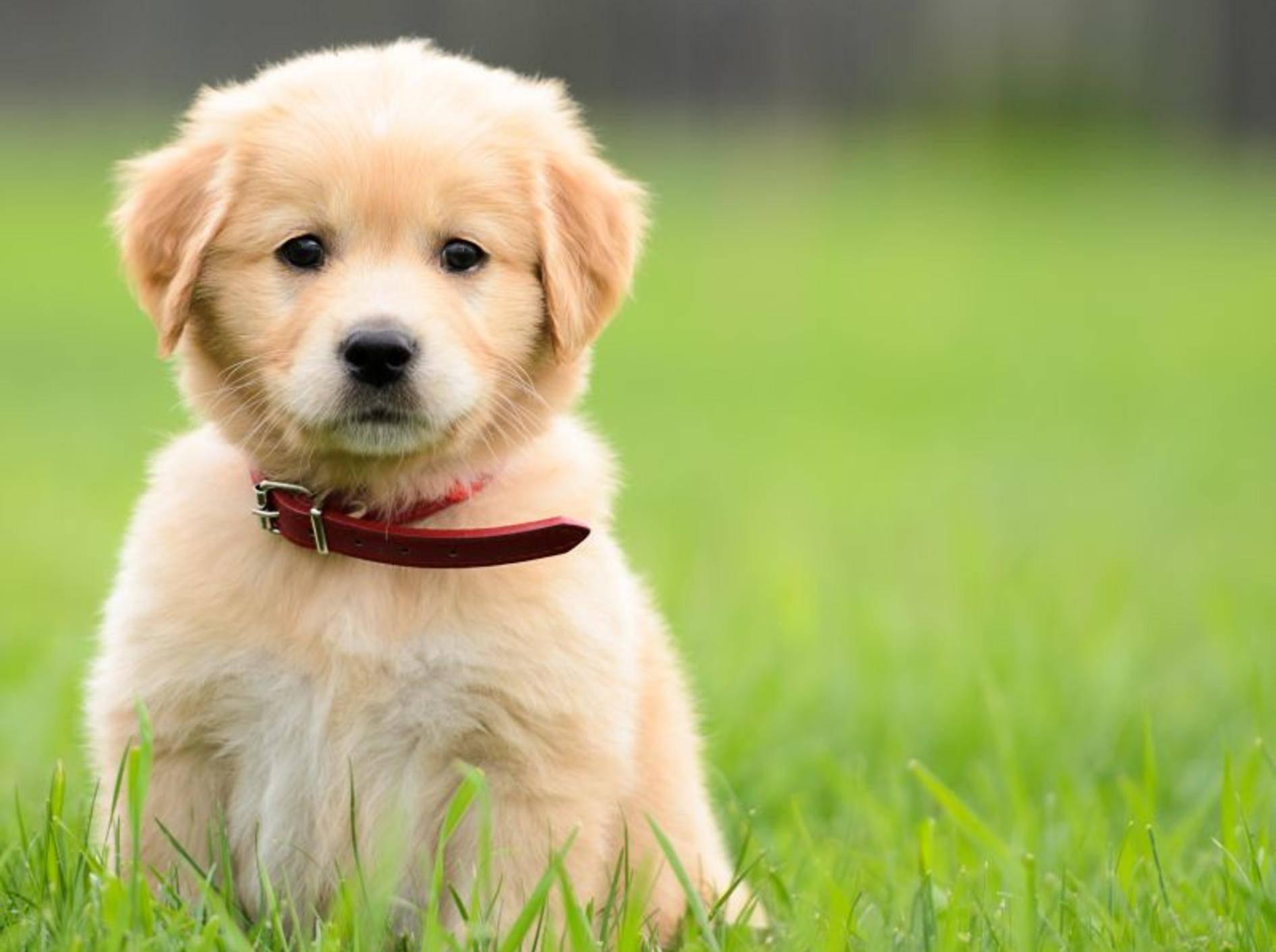 Meist ganz einfach: Welpen an ein Hundehalsband gewöhnen — BIld: Shutterstock / dragon_fang