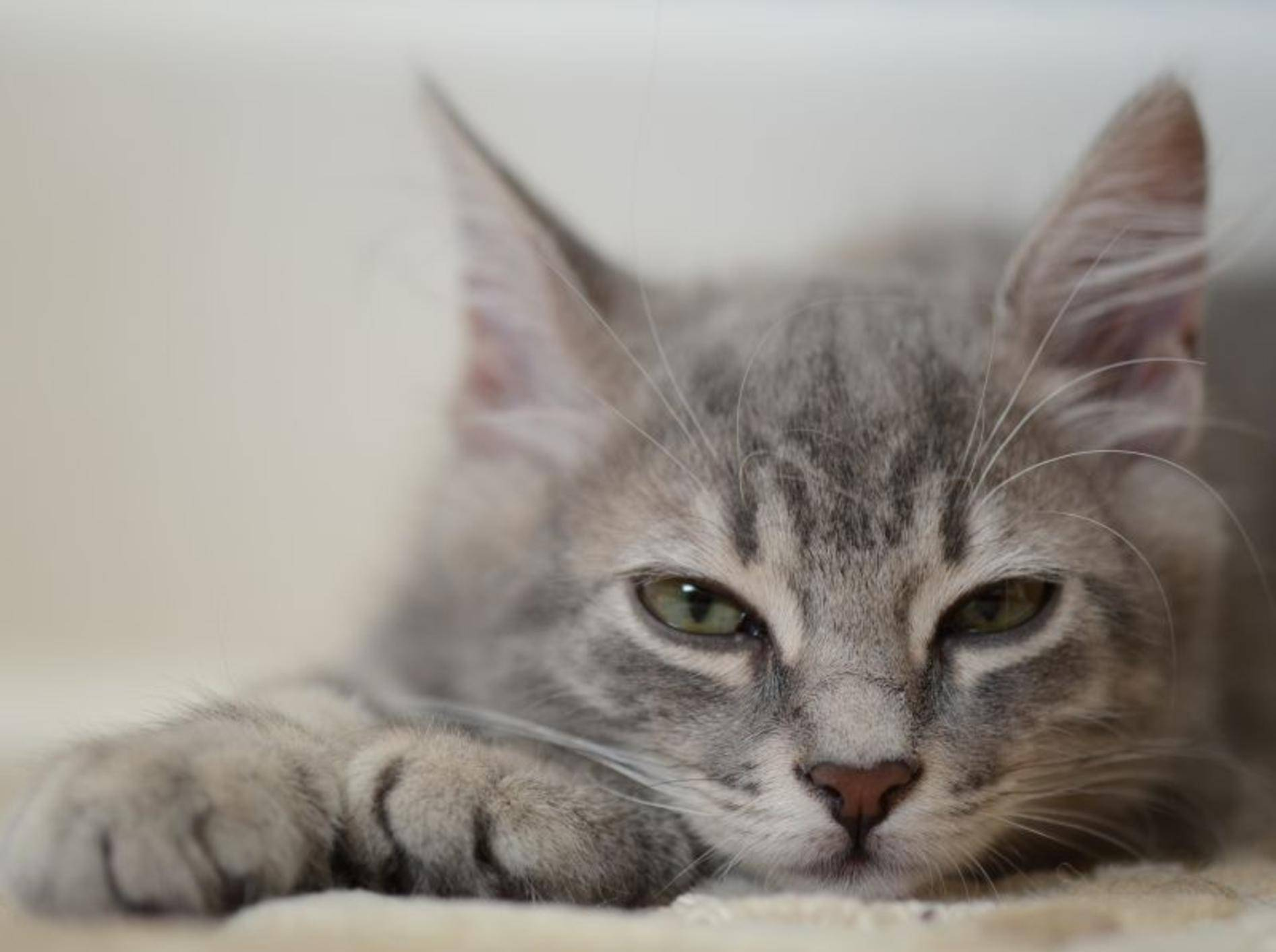 Würmer bei Katzen: Betroffene Stubentiger wirken oft müde und lustlos — Bild: Shutterstock / berna namoglu