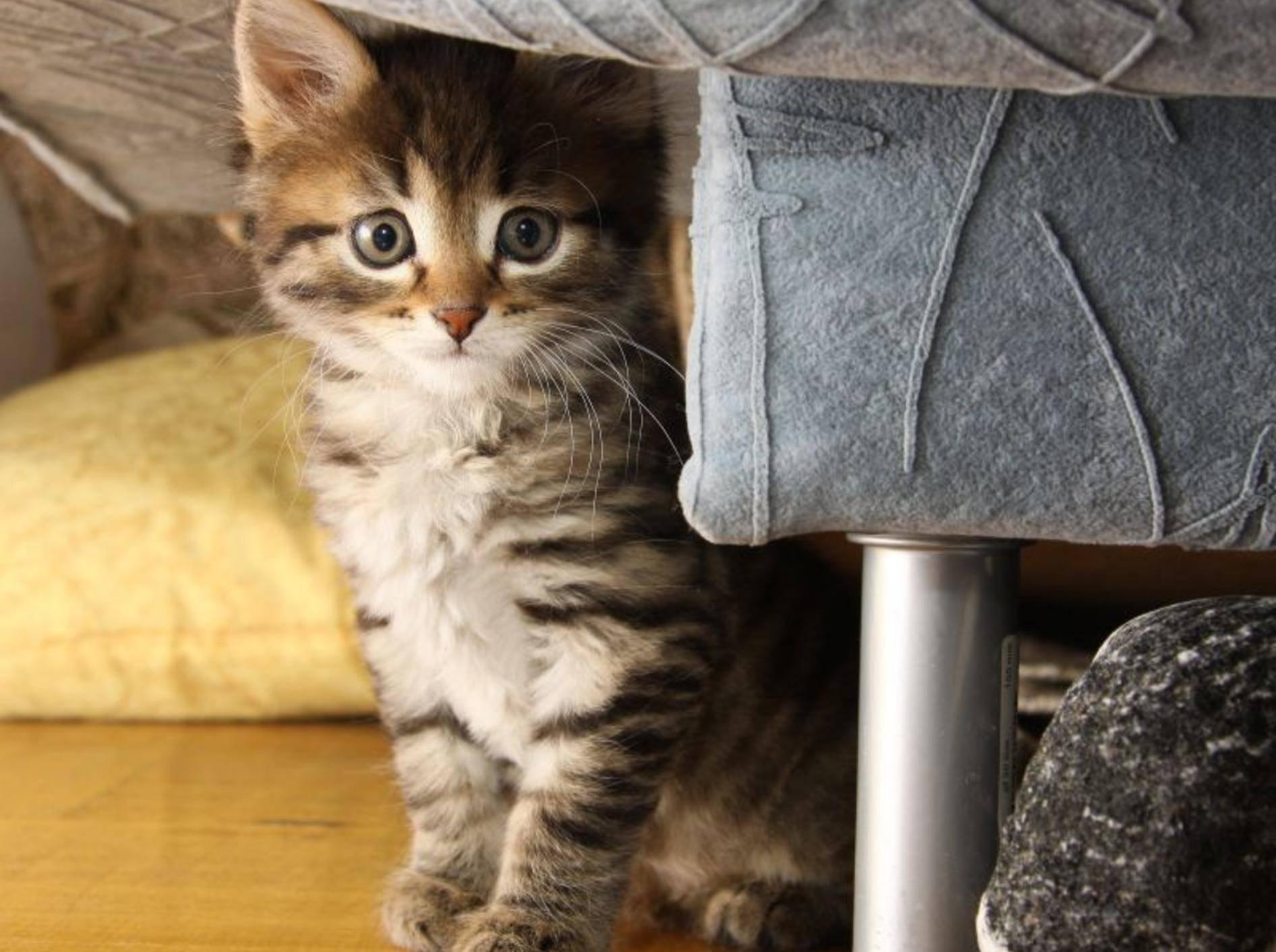 Katzenbabys kaufen: Am Anfang ist alles aufregend! — Bild: Shutterstock / kritskaya