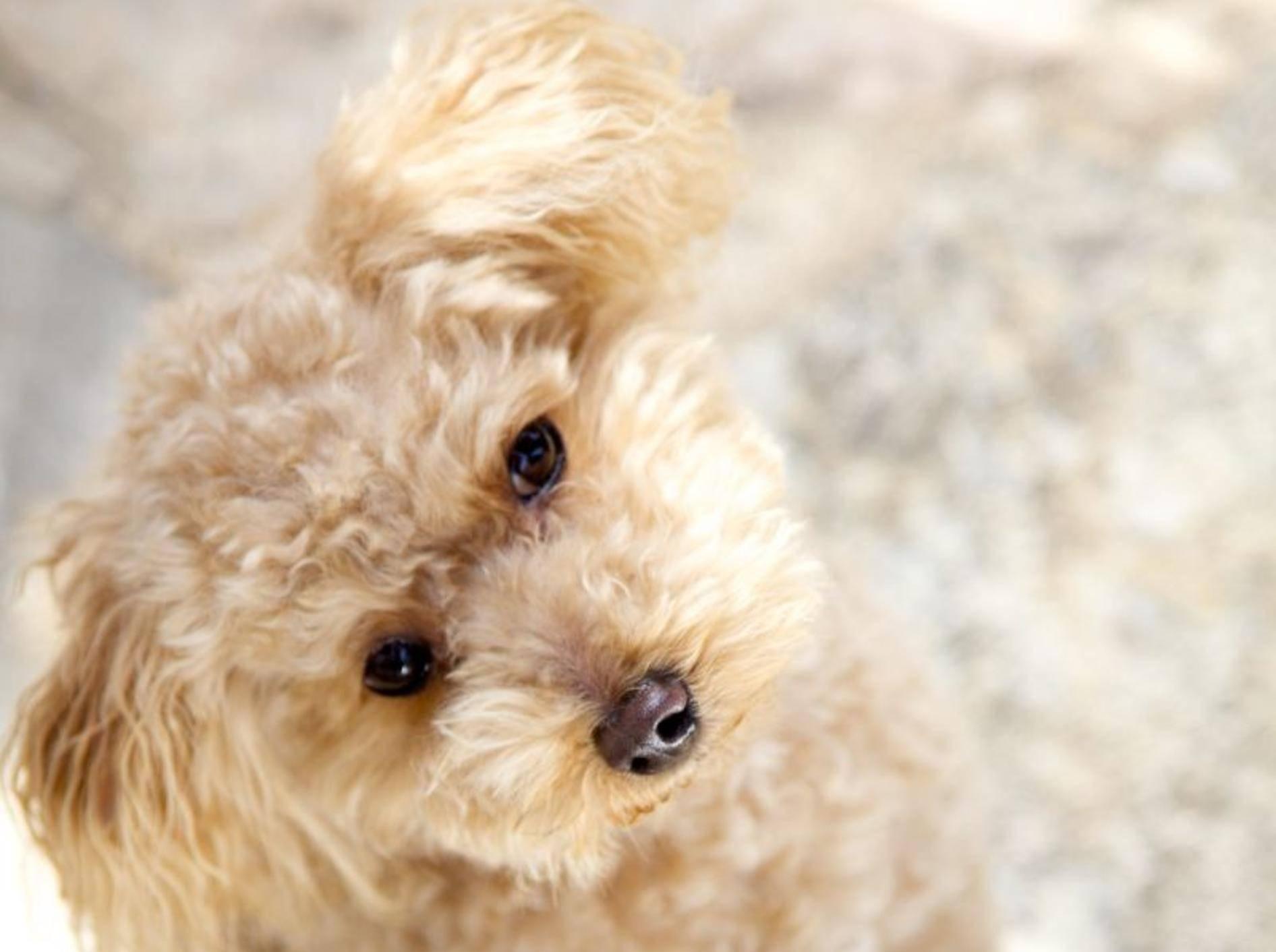 Der Toy-Pudel ist der kleinste der vier Pudelarten — Bild: Shutterstock / Rosetta-hidek