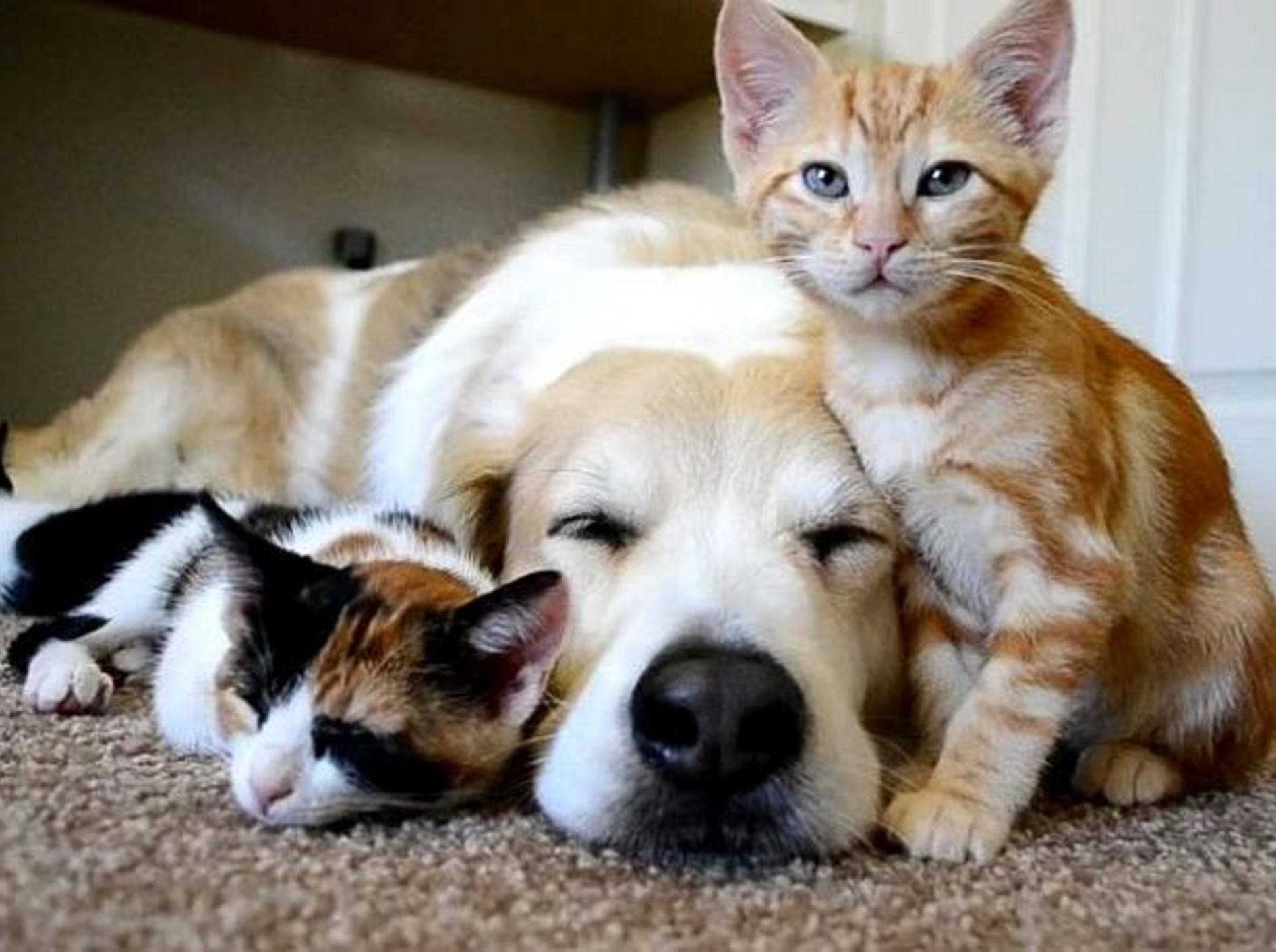 hund-kuschelt-mit-katzen
