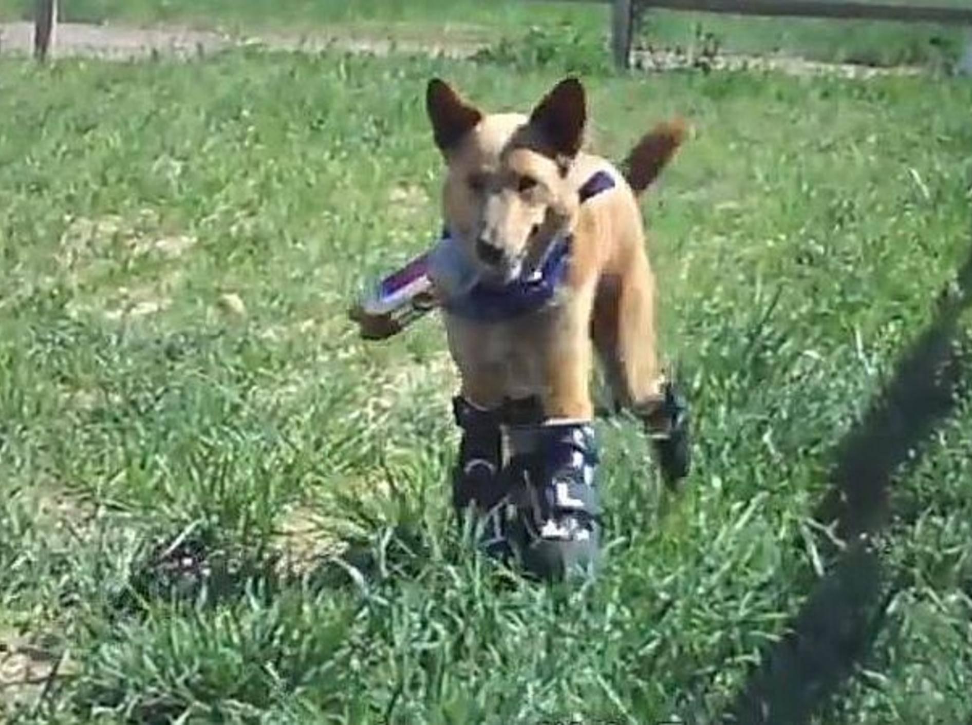 hund-mit-prothesen
