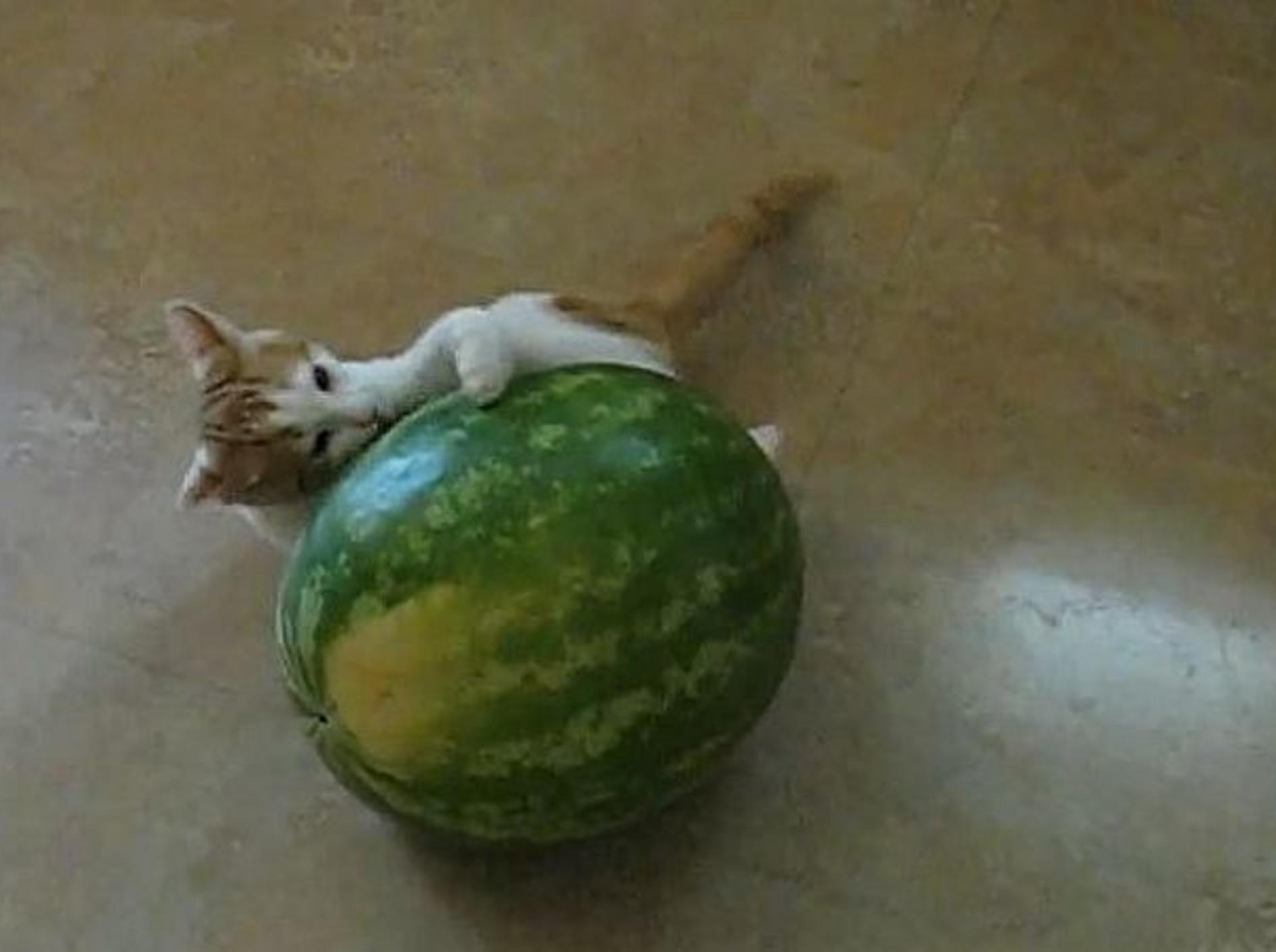 katze-legt-sich-mit-wassermelone-an