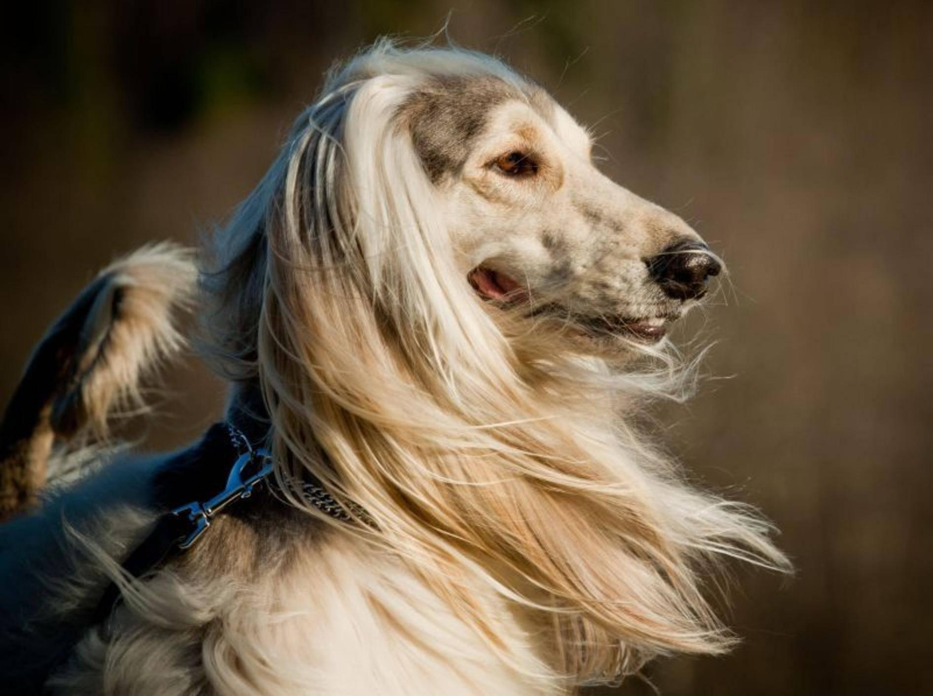 Der Afghanischer Windhund fällt durch ein besonders langes Haarkleid auf — Bild: Shutterstock / mariait