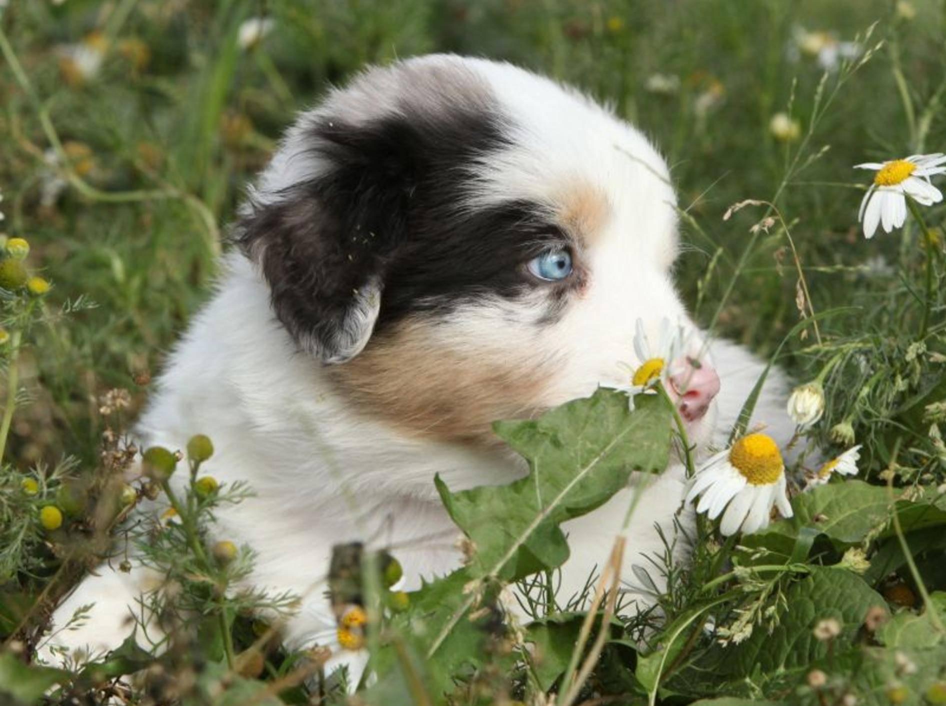 Früh übt sich, denkt sich dieser kleine Australian Sheperd wohl auf seinem ersten großen Hundespaziergang — Bild: Shutterstock / Zuzule