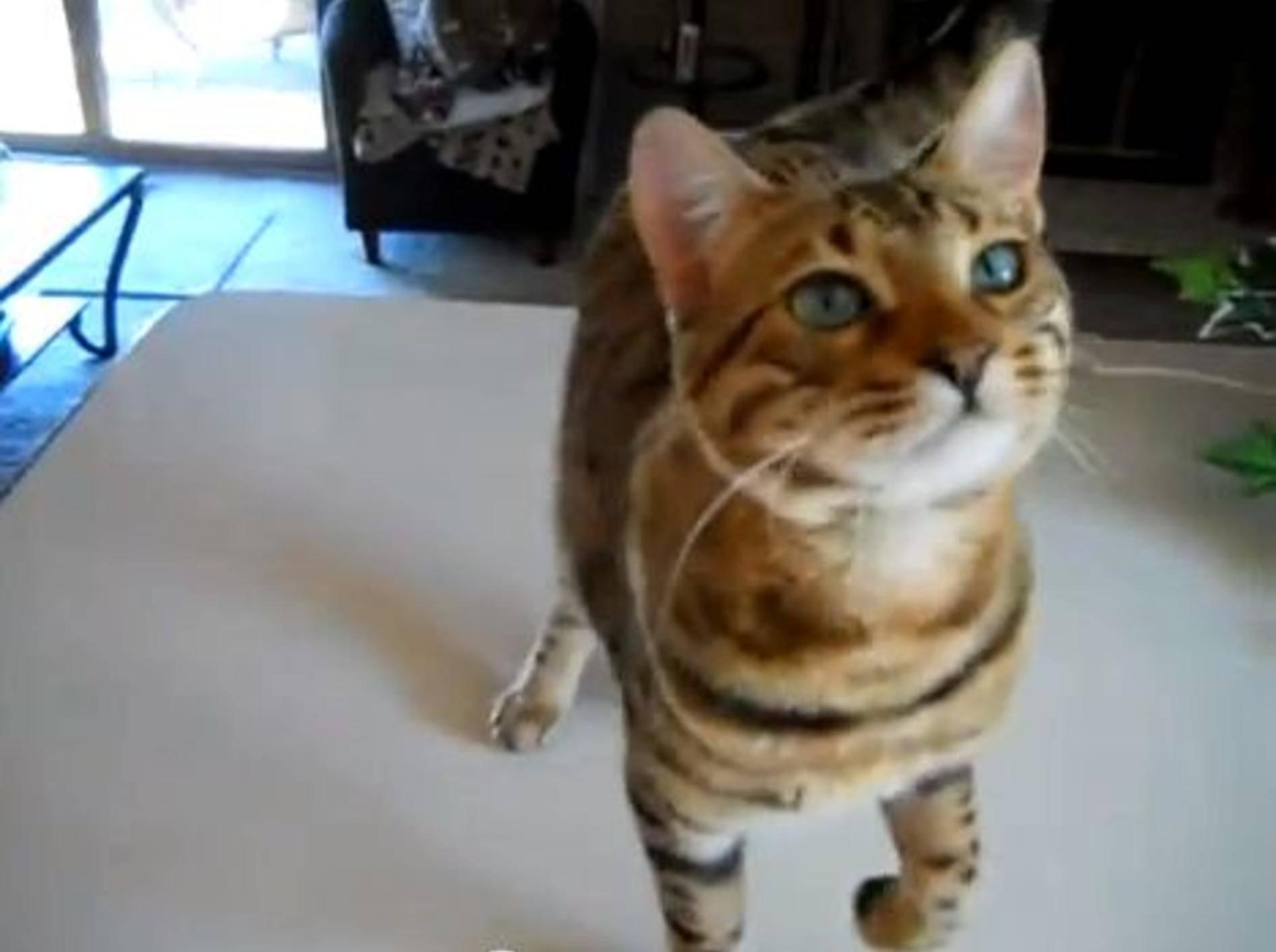 Wow! Eine Bengal-Katze zeigt ihre Tricks — Bild: Youtube / djrocksteadyuk