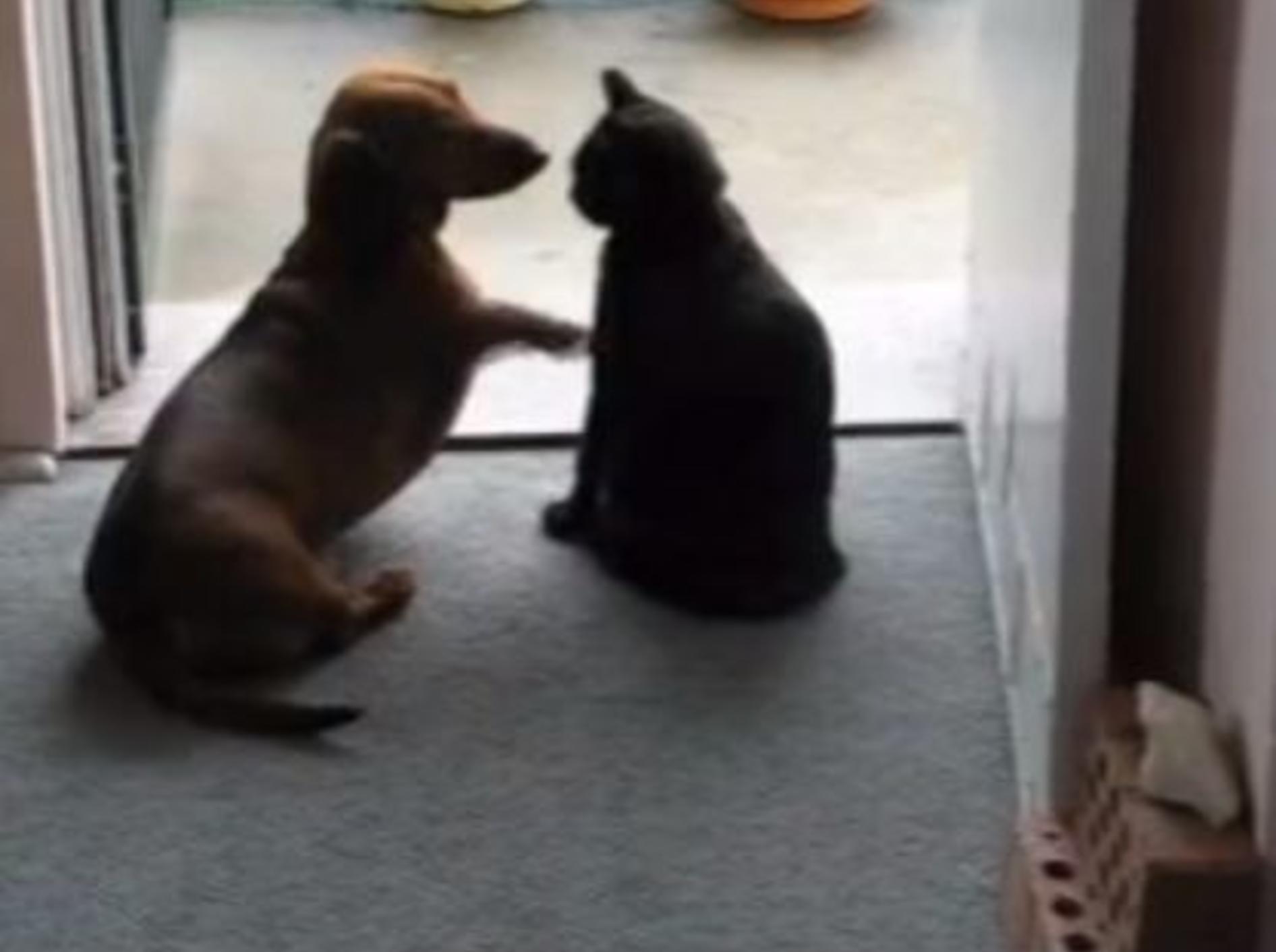 Verspielter Dackel trifft auf strenge Katze: Nein heißt Nein! — Bild: Youtube / Iain1957