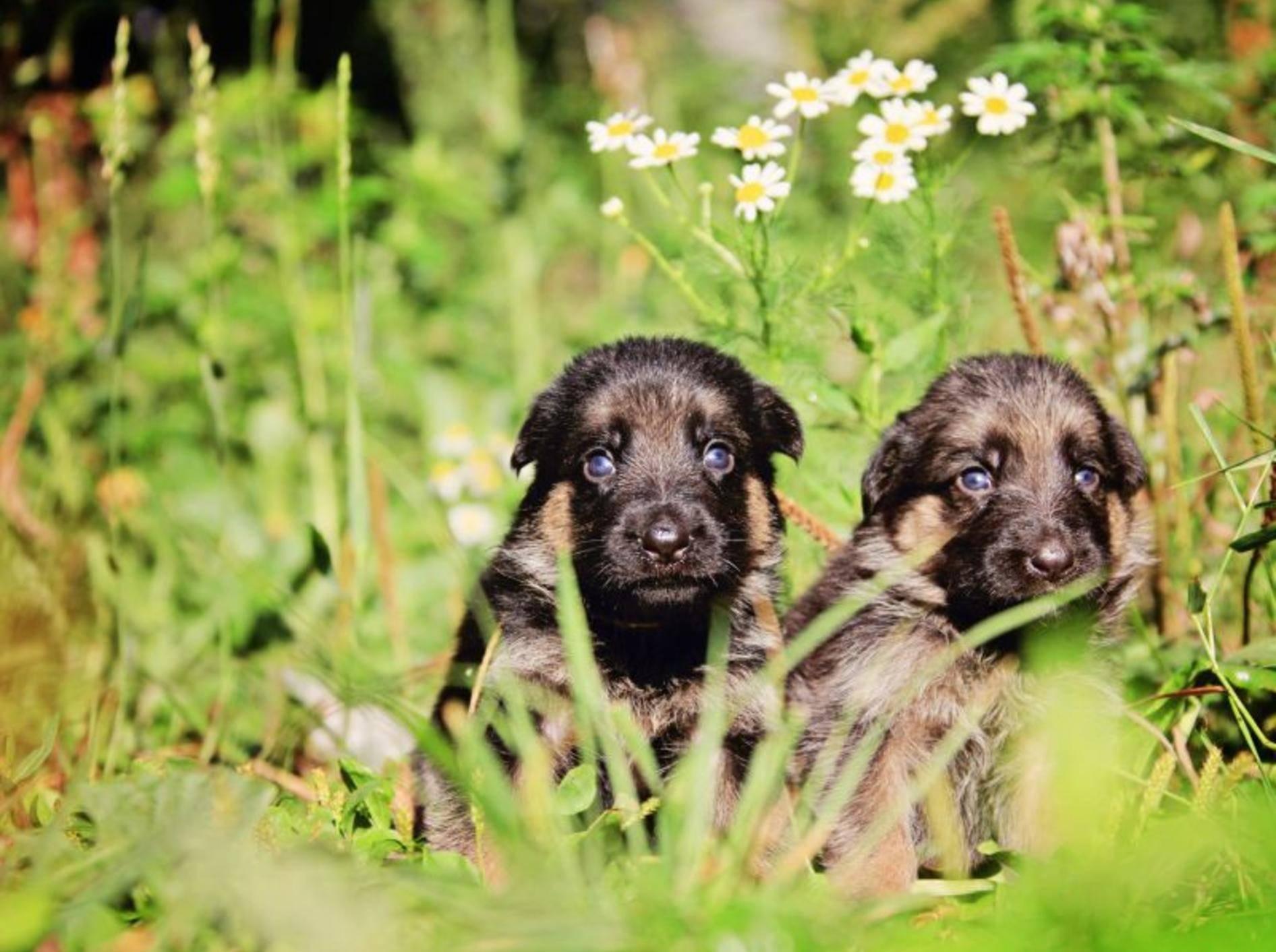 Deutscher Schäferhund im Taschenformat: So süß sind die Welpen — Bild: Shutterstock / Ambito