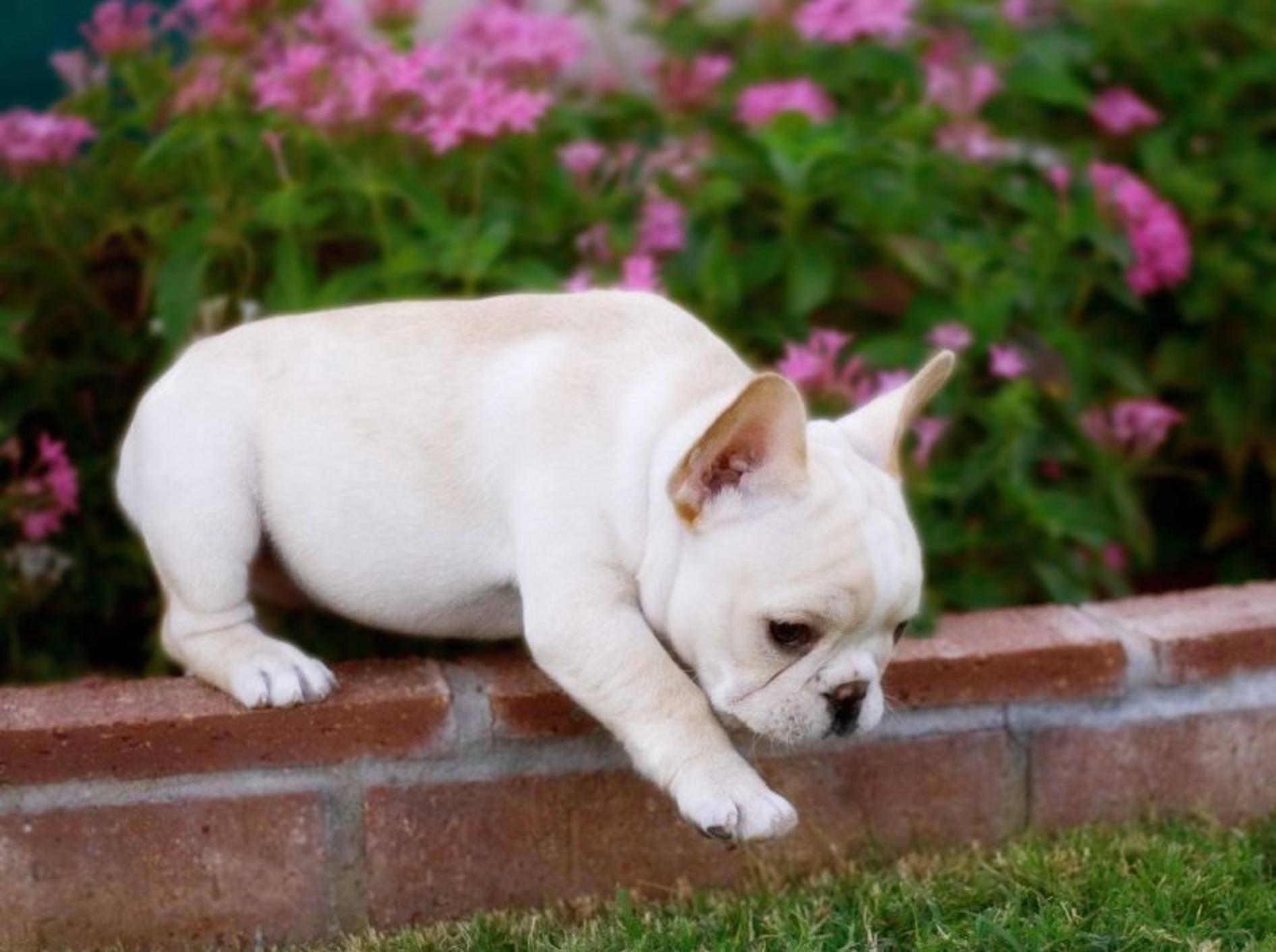 Jetzt aber ganz vorsichtig sein, kleine Englische Bulldogge — Bild: Shutterstock / Justin Black