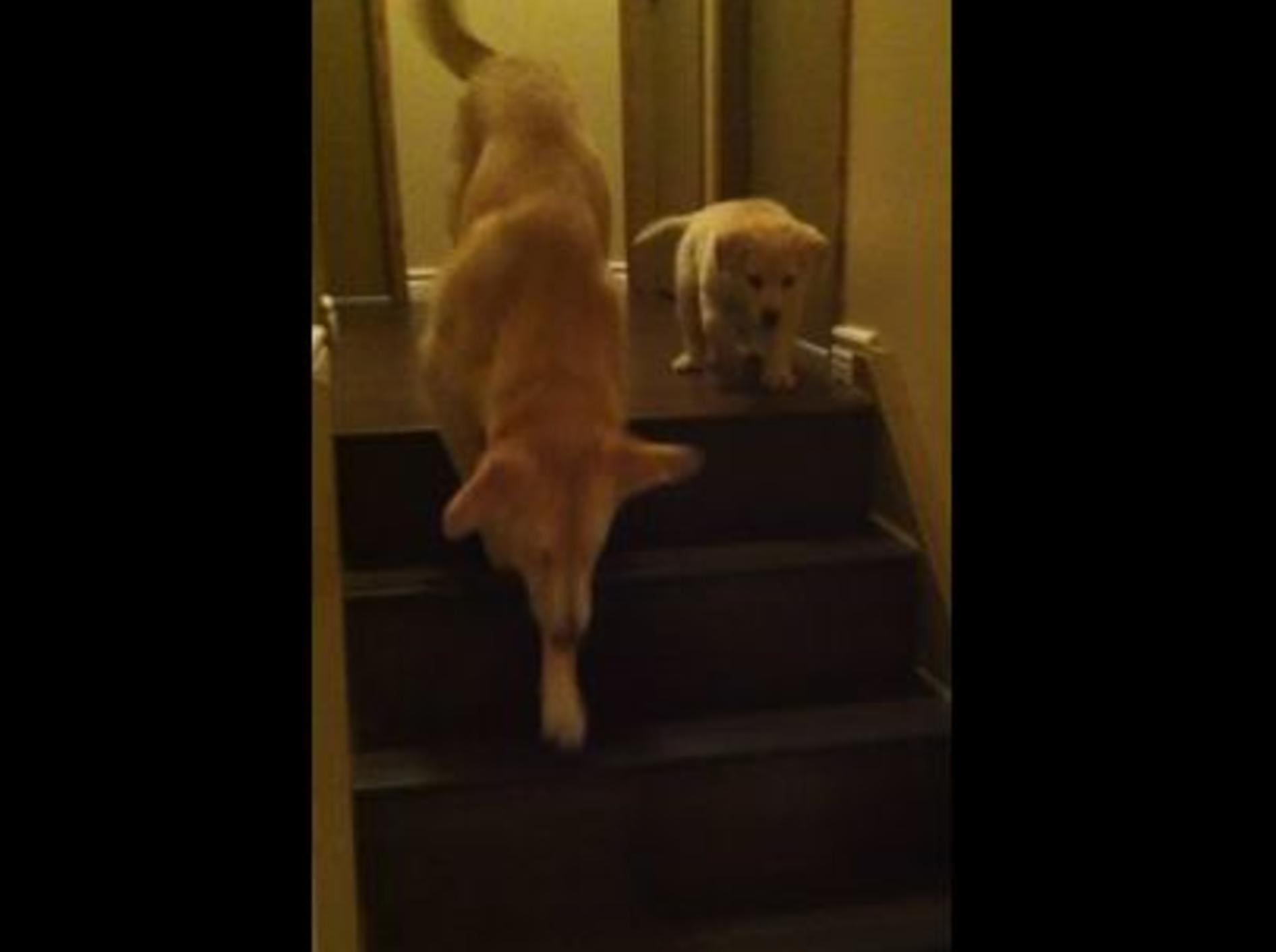 Welpe bekommt Nachhilfe im Treppensteigen — Bild: Youtube / Tim Doucette