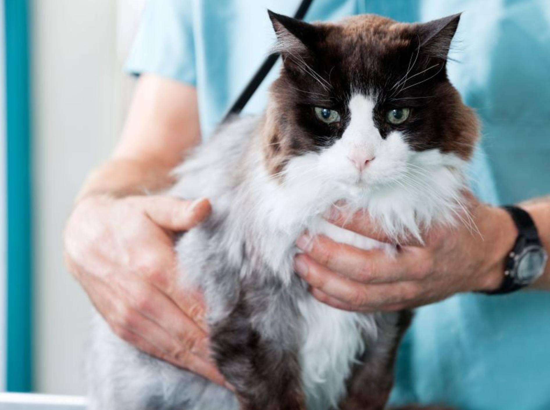 Für die Behandlung einer Behandlung einer Schilddrüsenüberfunktion bei Katzen gibt es verschiedene Methoden — Bild: Shutterstock / Tyler Olson